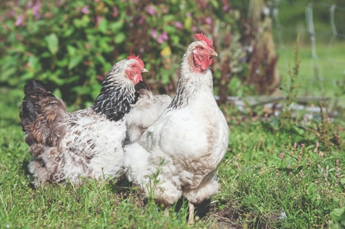 Salmonella tied to backyard poultry surpass 1,000 cases in 49 states