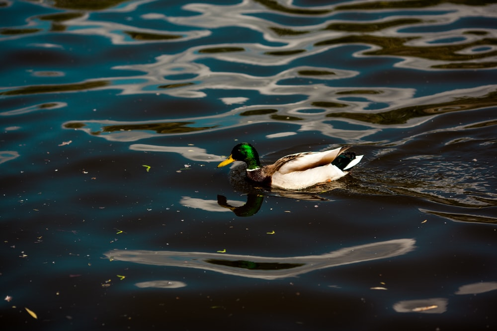 white and black duck on water