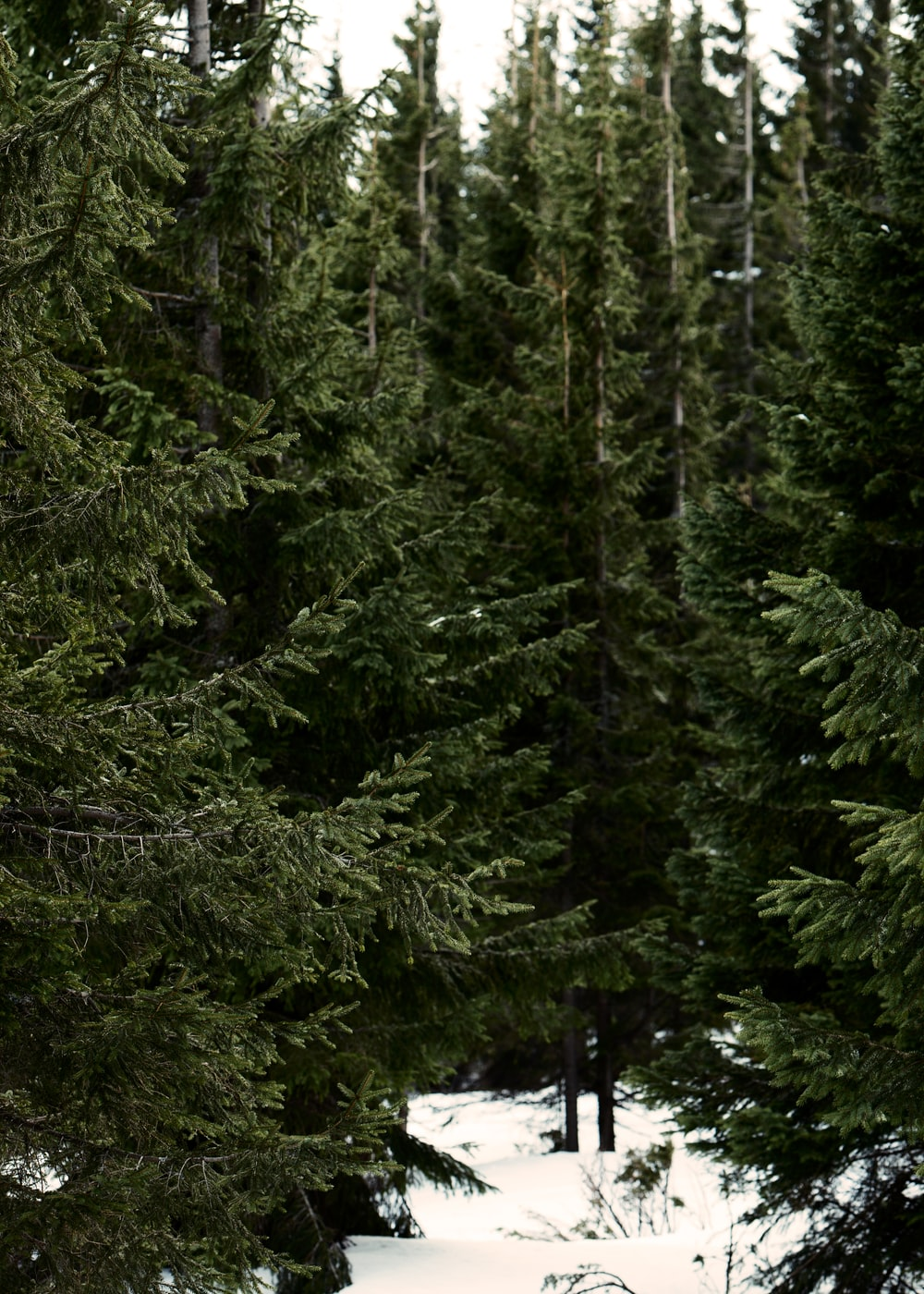 photo of green leafed trees on snow