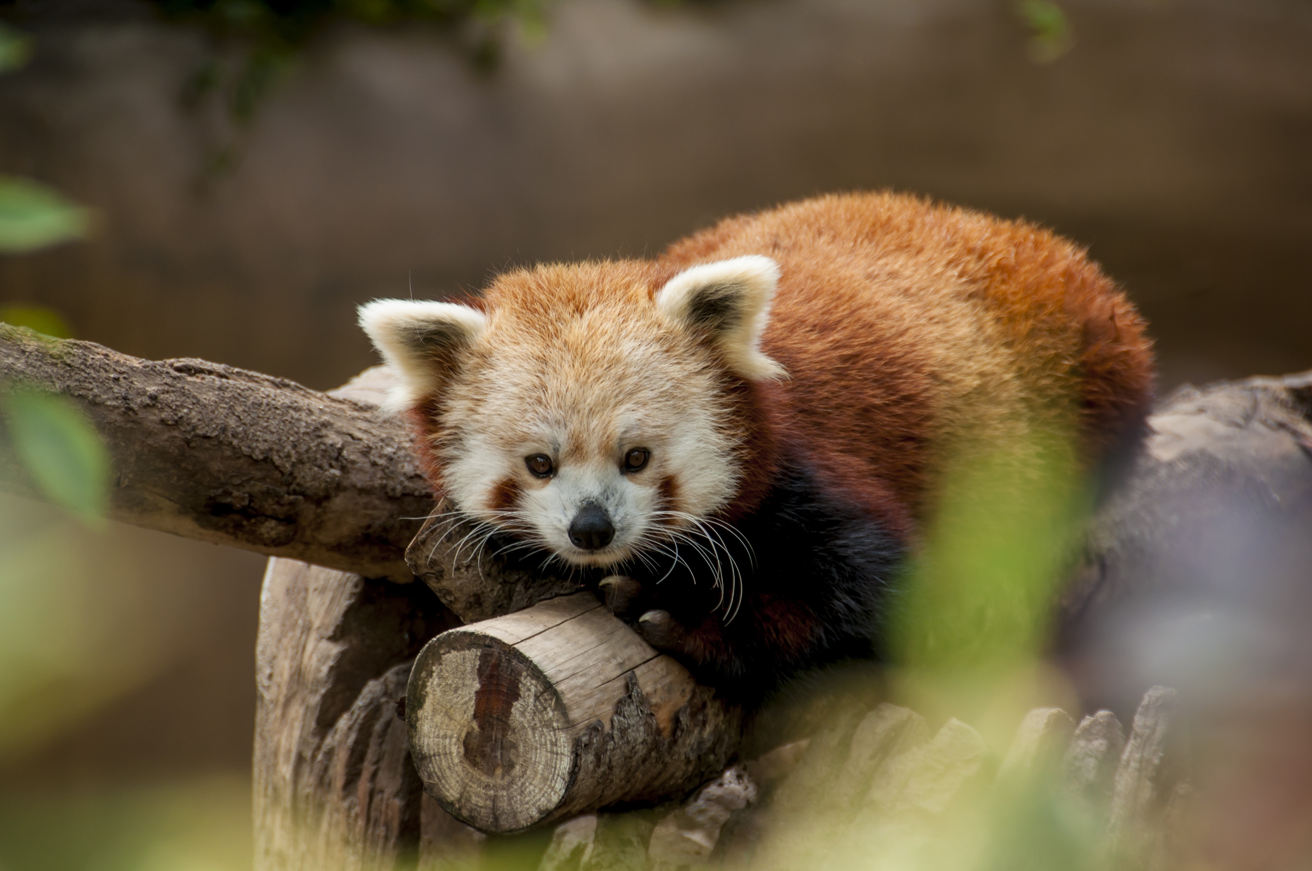 A small red panda snuggled on a tree trunk
