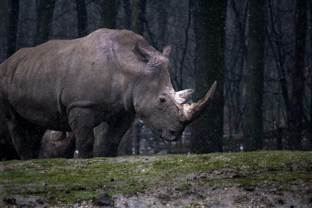 gray rhinoceros standing
