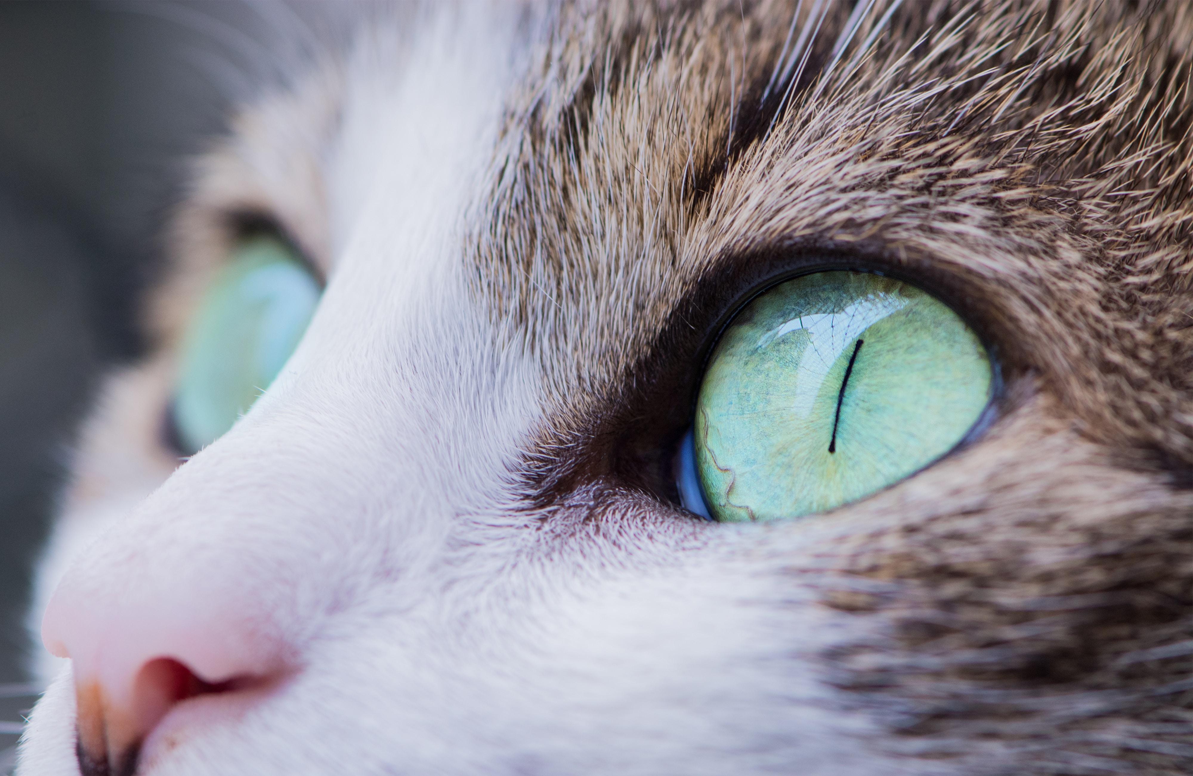Macro of a cat's green eyes