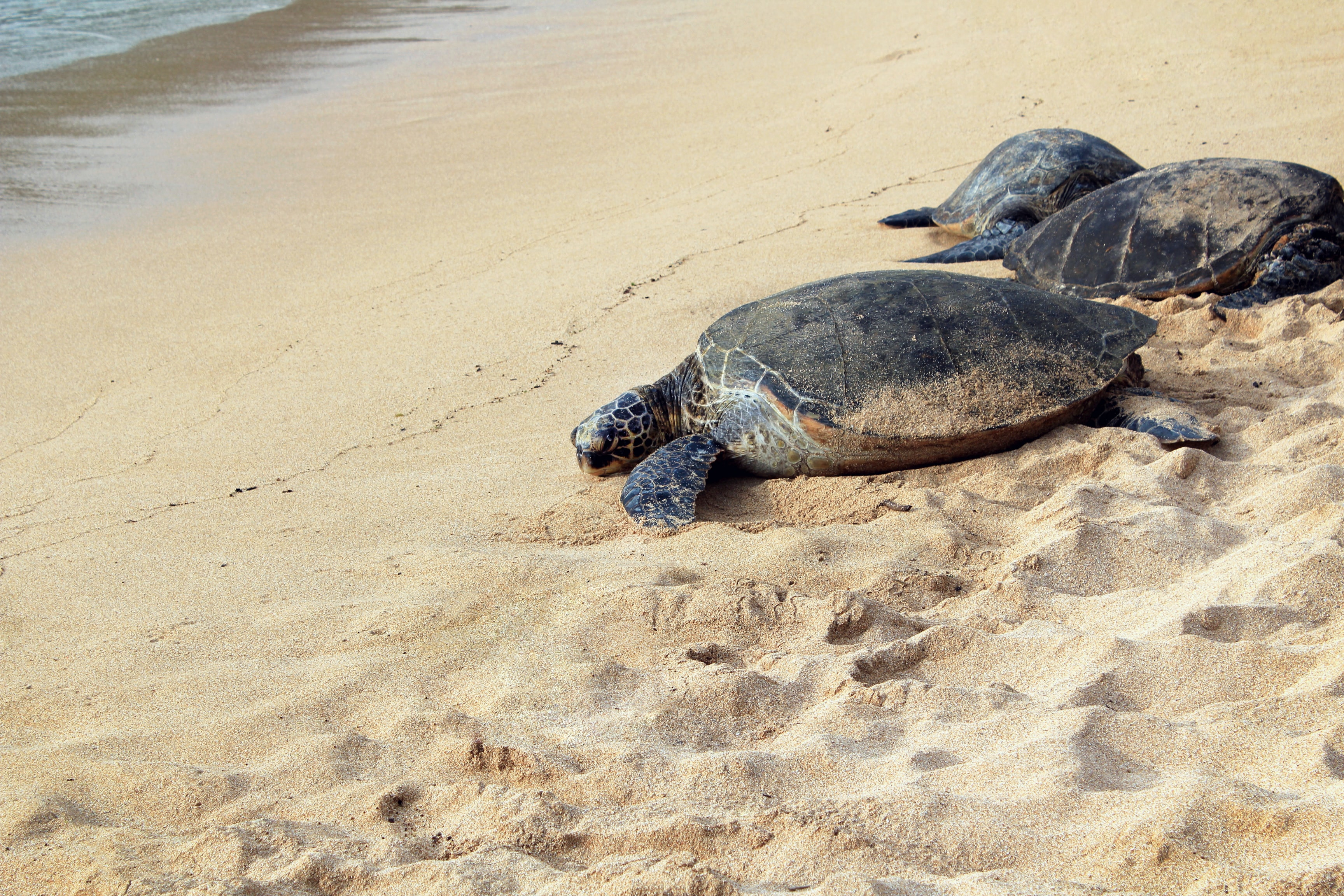 three brown turtles on seashore