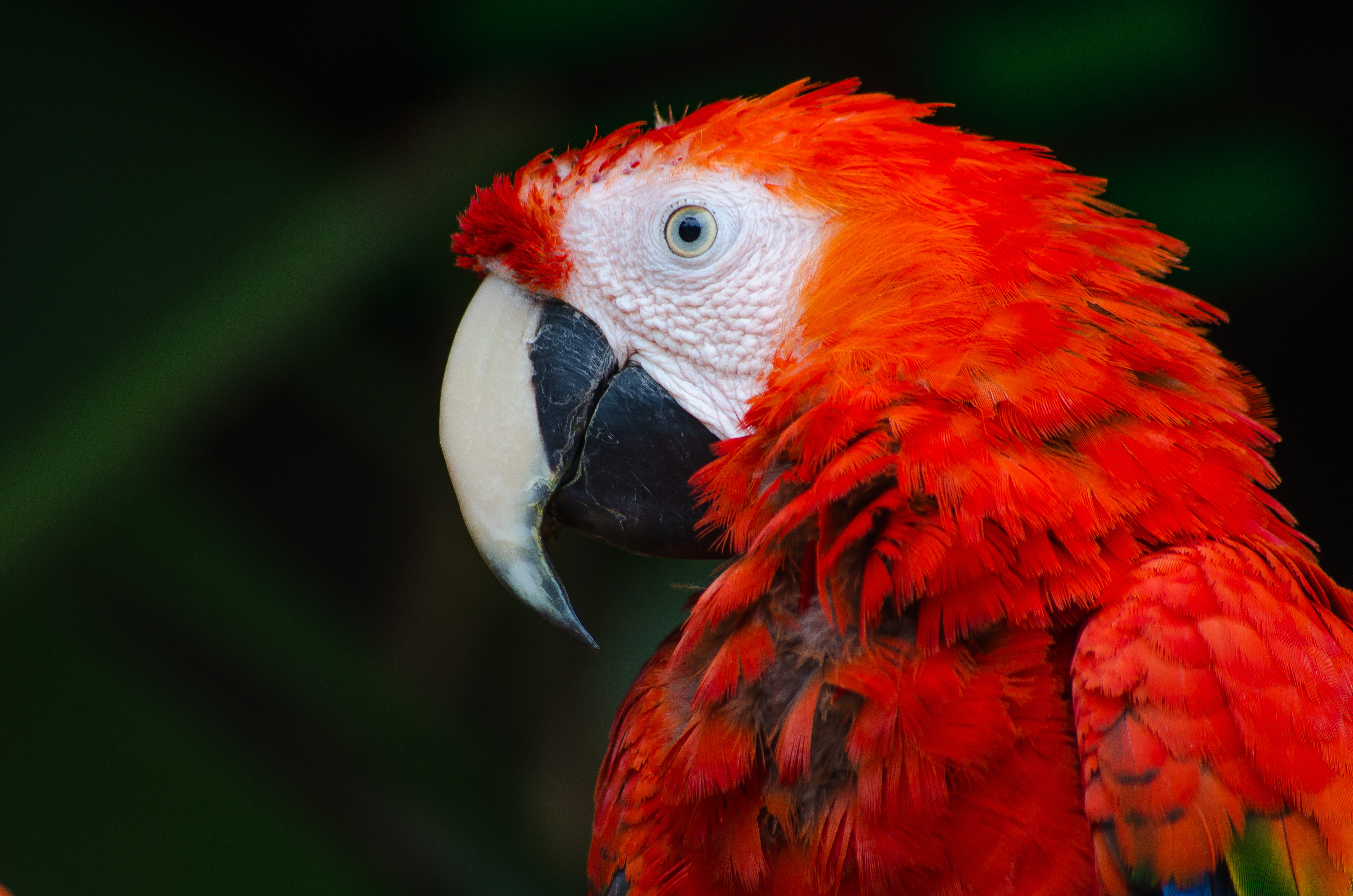 Macro of a red parrot with blue eyes on a grassy backdrop