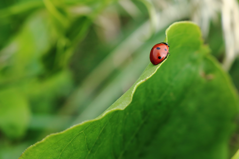 Ladybug crawls on a large green leafy plant