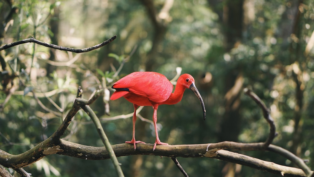 red bird on tree brance