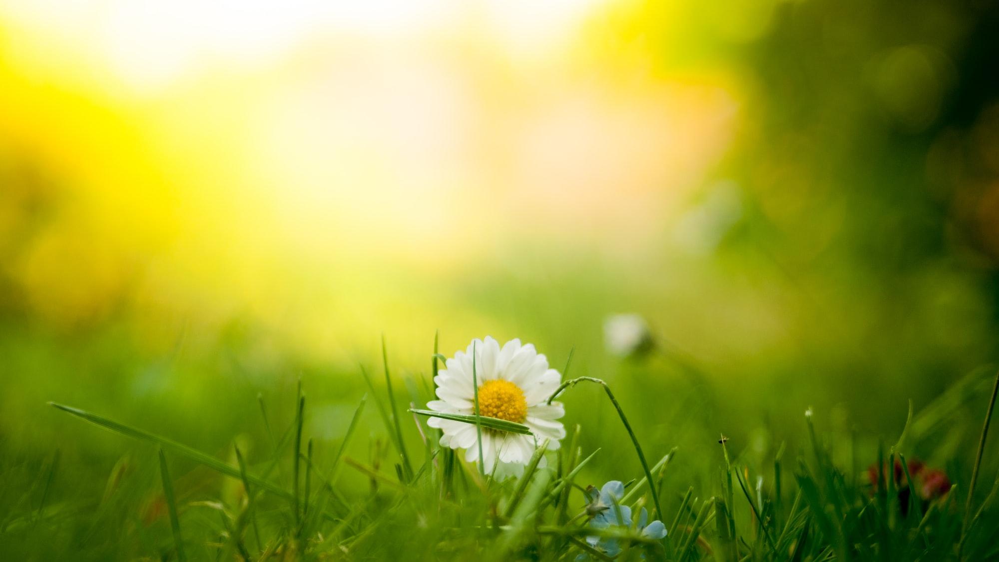 White daisy in grass