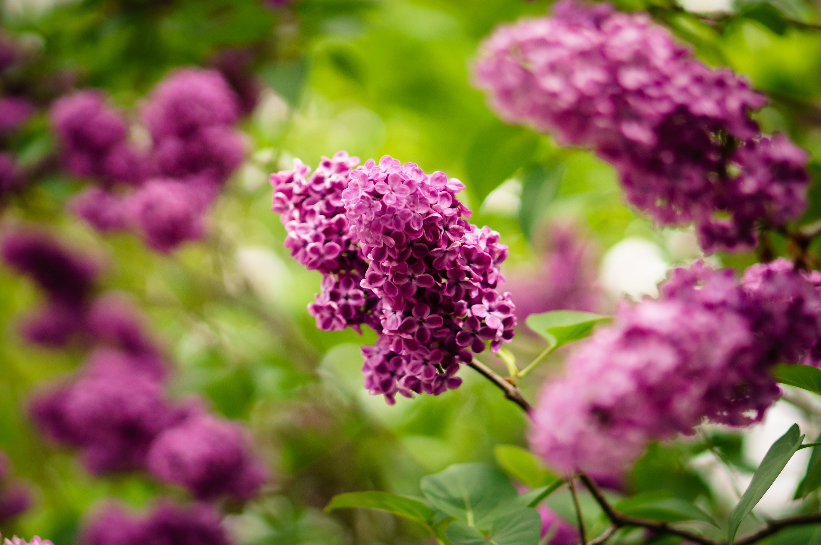 Purple lilac flowers bloom in a green leafy bush