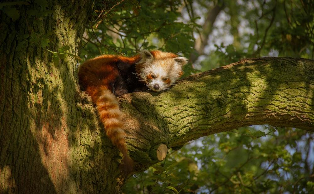 red panda on green tree branch
