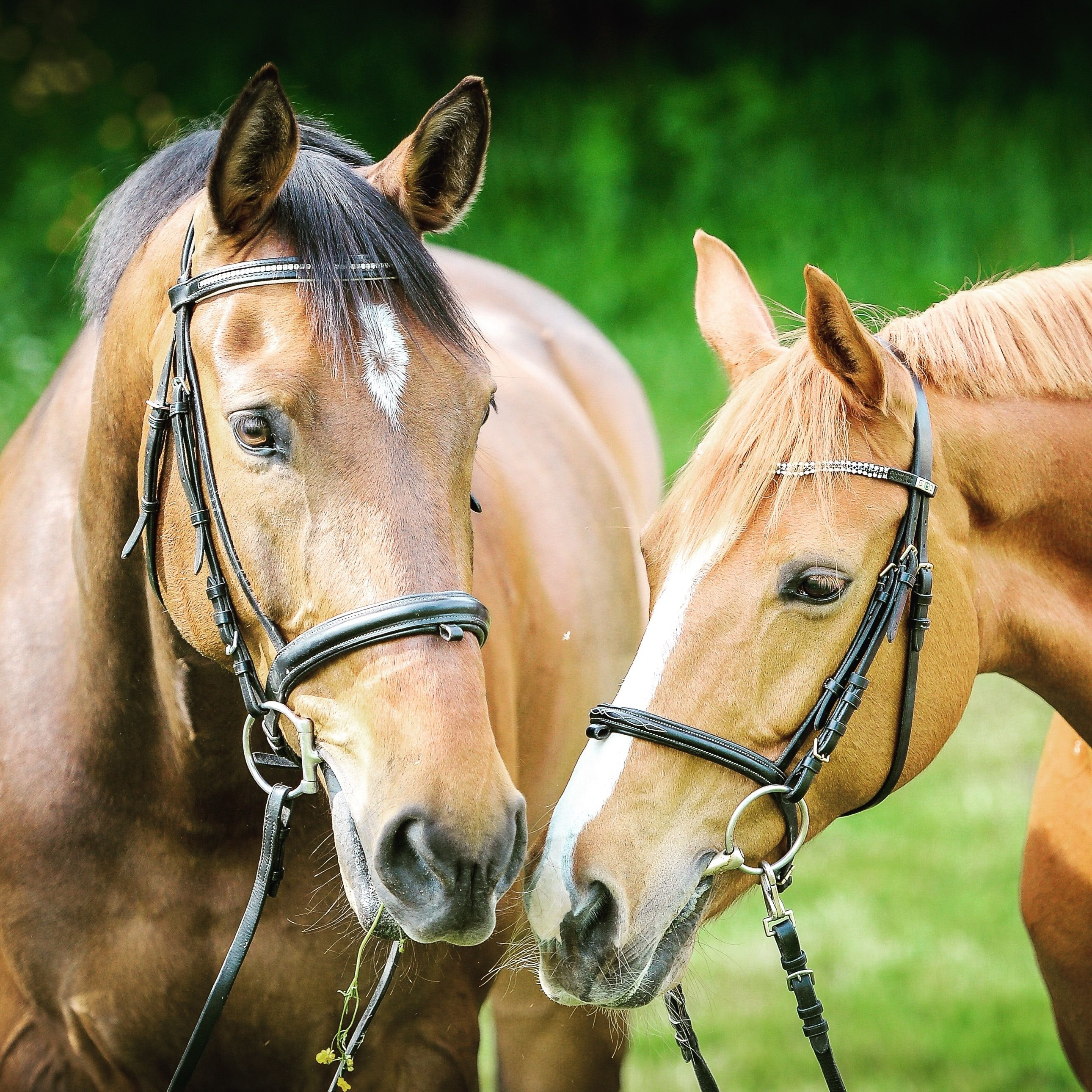 Two brown horses in bridles with their heads close to each other