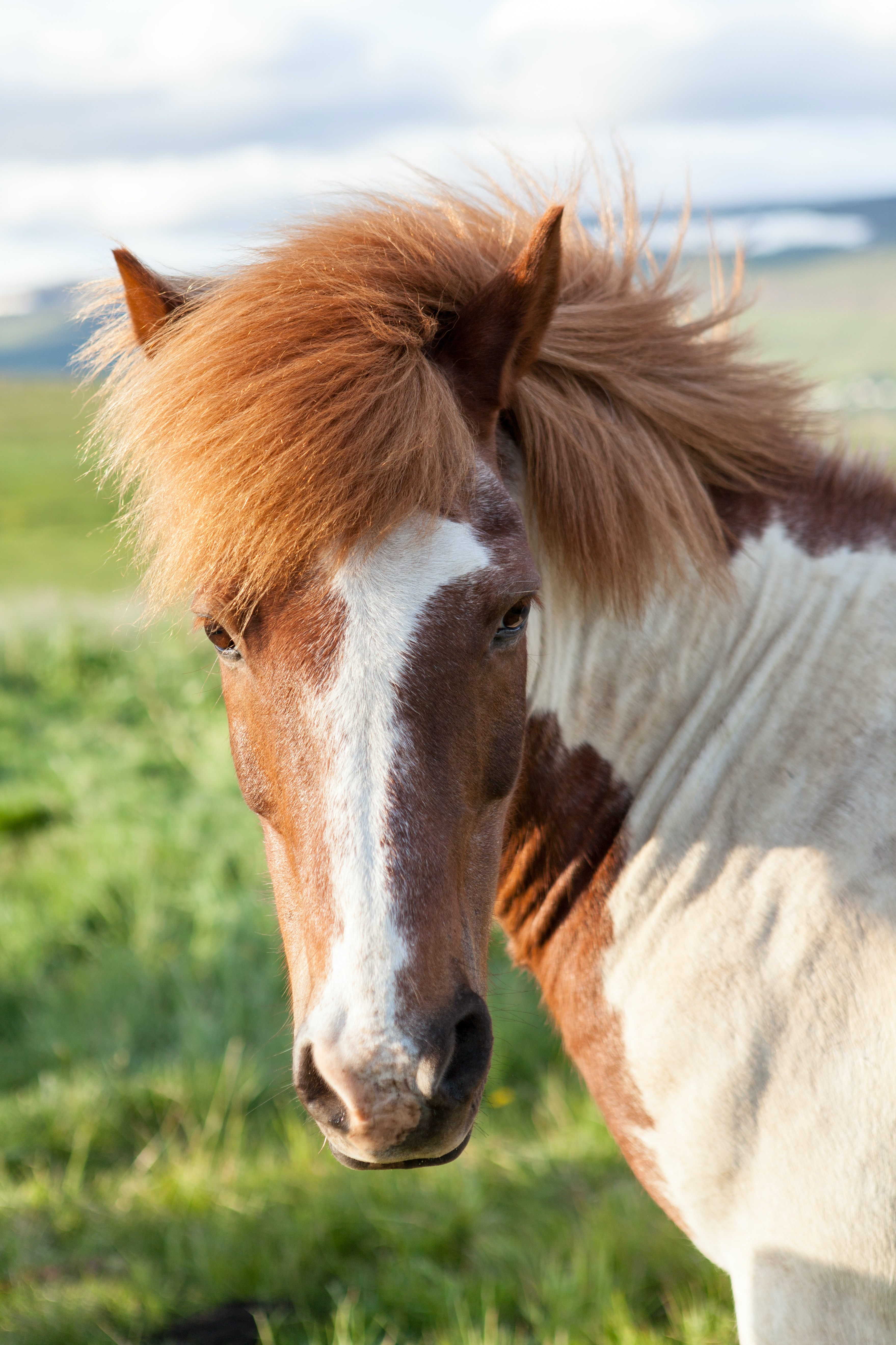 A skewbald horse with a thick mane turns its head to the side