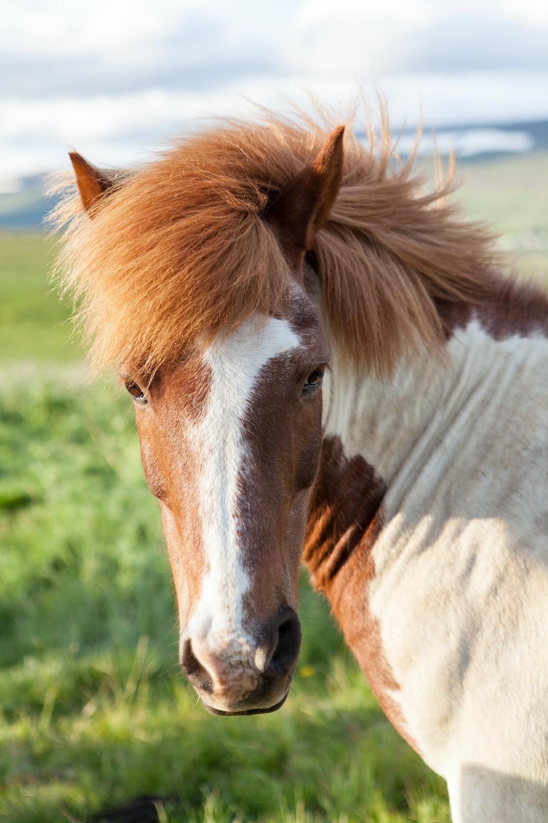Elegance of a Friesian Horse