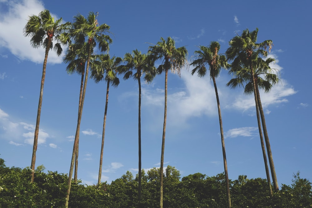 brown and green coconut palm trees under blue sky