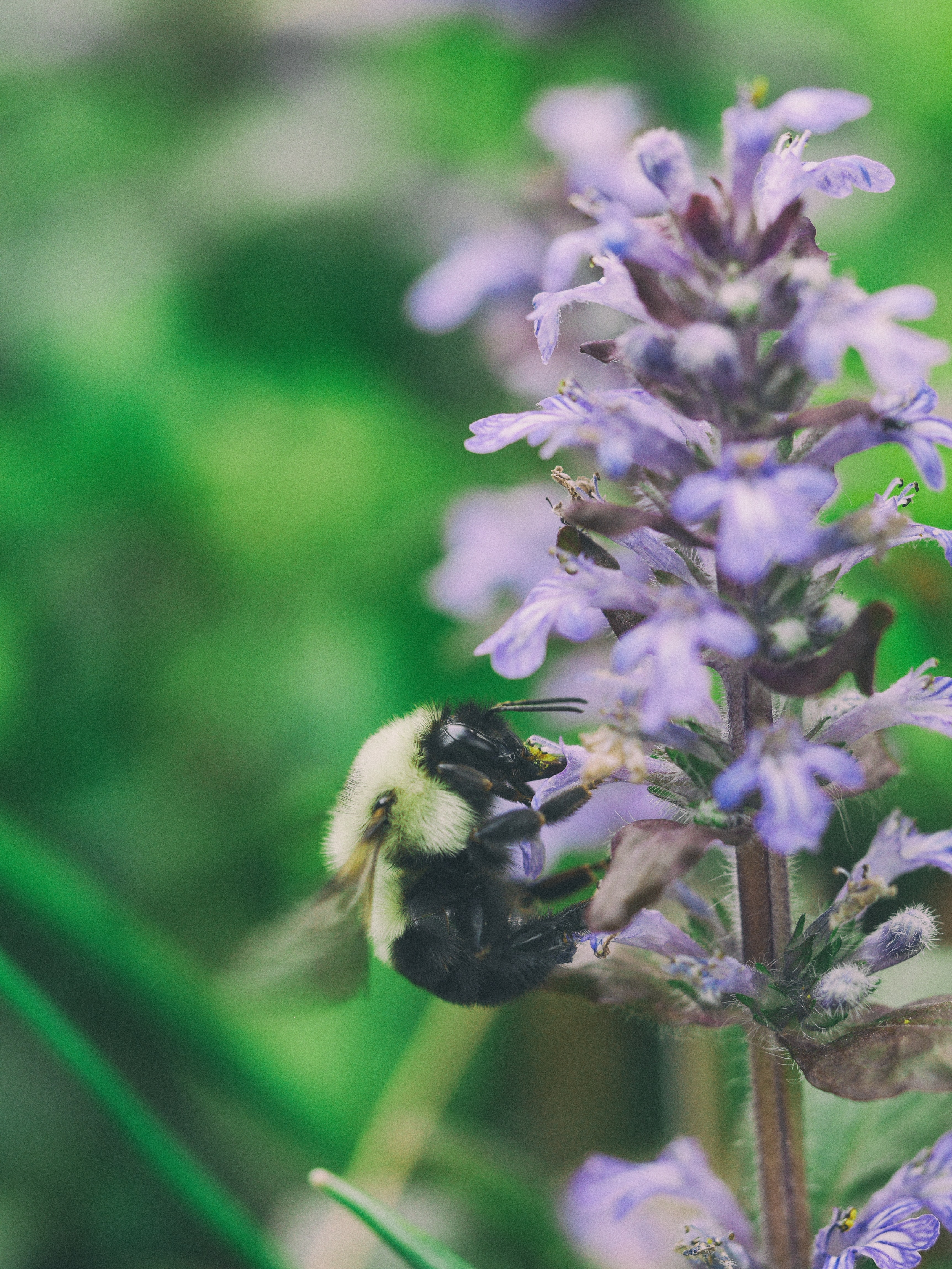 Bee pollinates a purple lavender plant in the wild