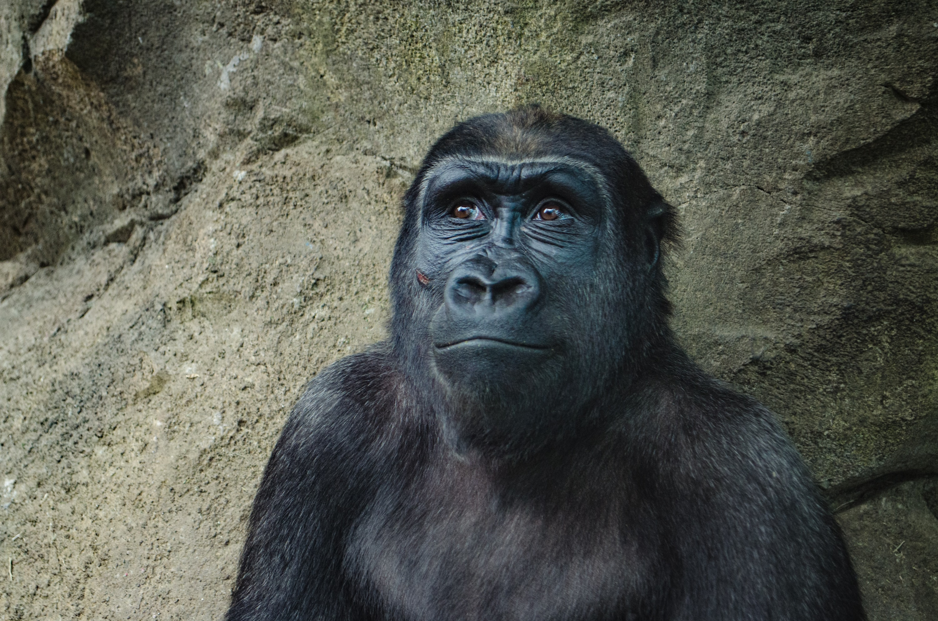 Curious gorilla sitting alone smiles