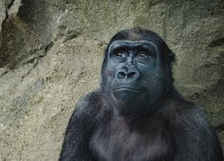 closeup photo of black gorilla
