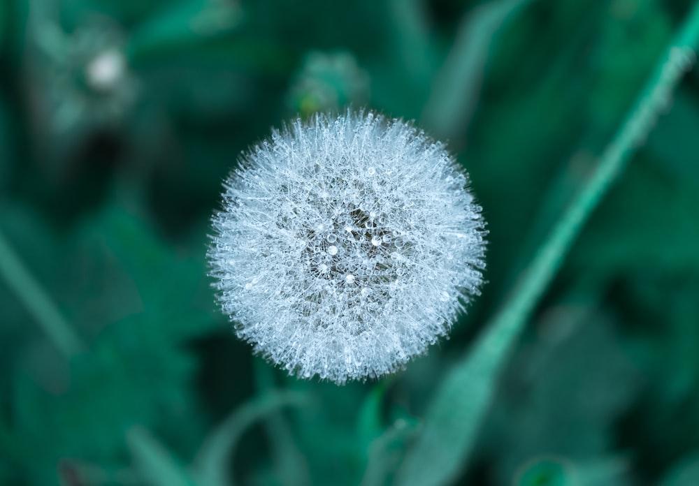 selective focus photography of a dandelion clock
