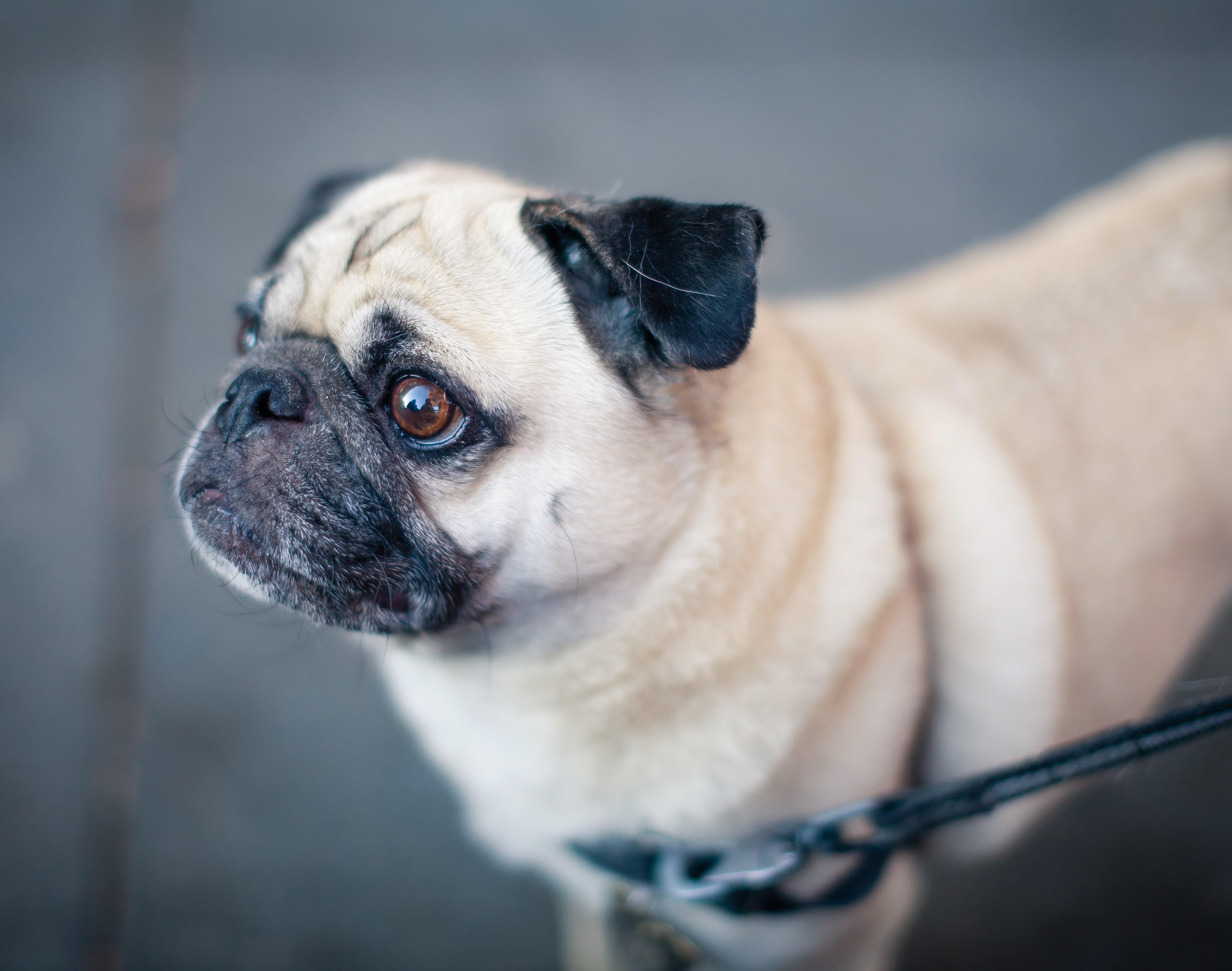 A pug dog on a leash