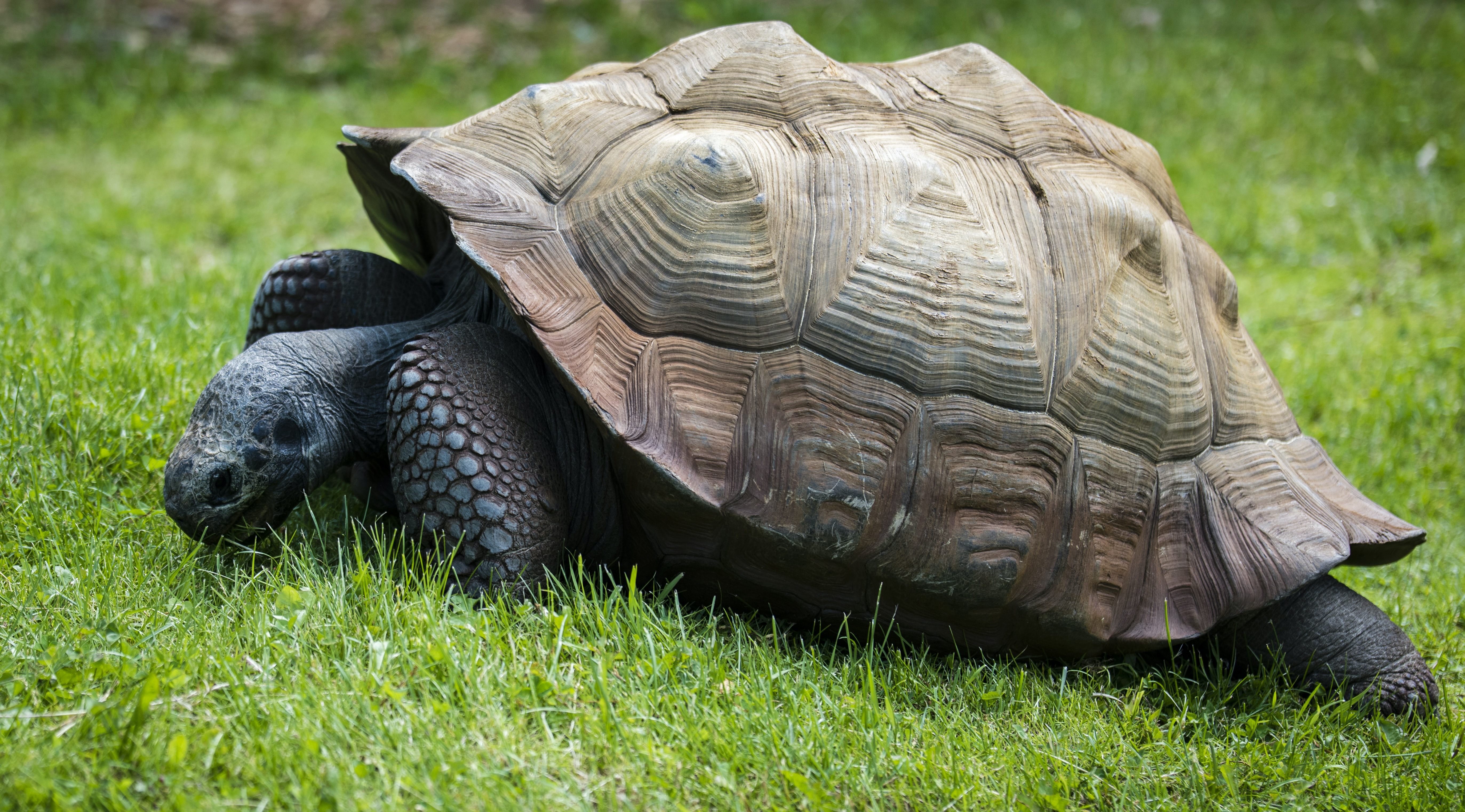 brown and gray turtle in green grass at daytime