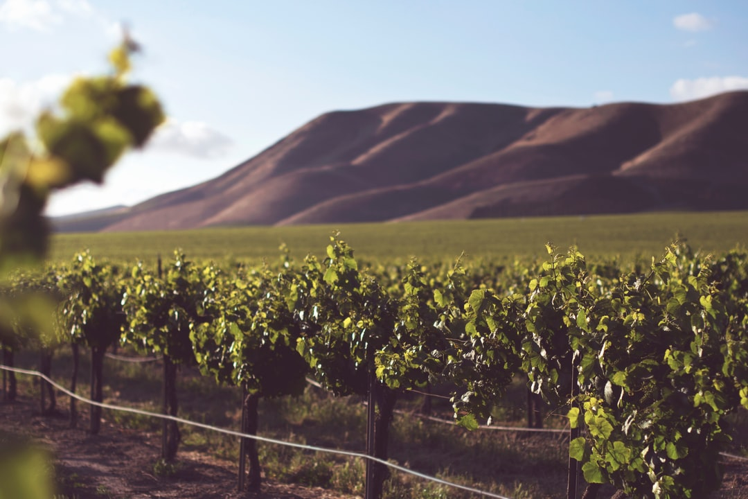 vineyard and hills