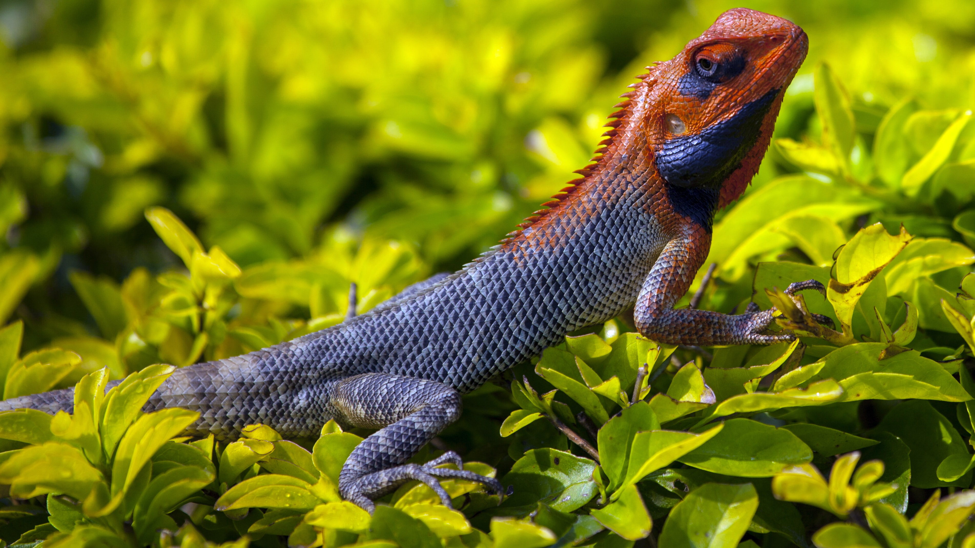 orange and gray Iguana standing on plant