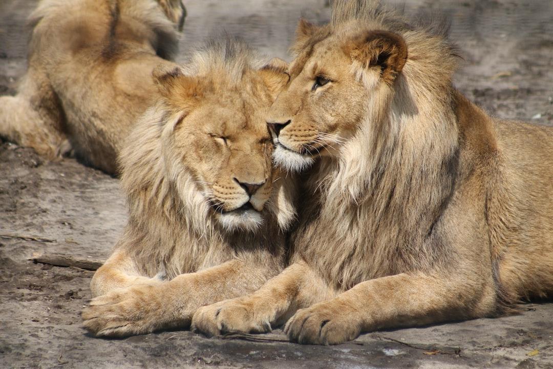 Lion friendship