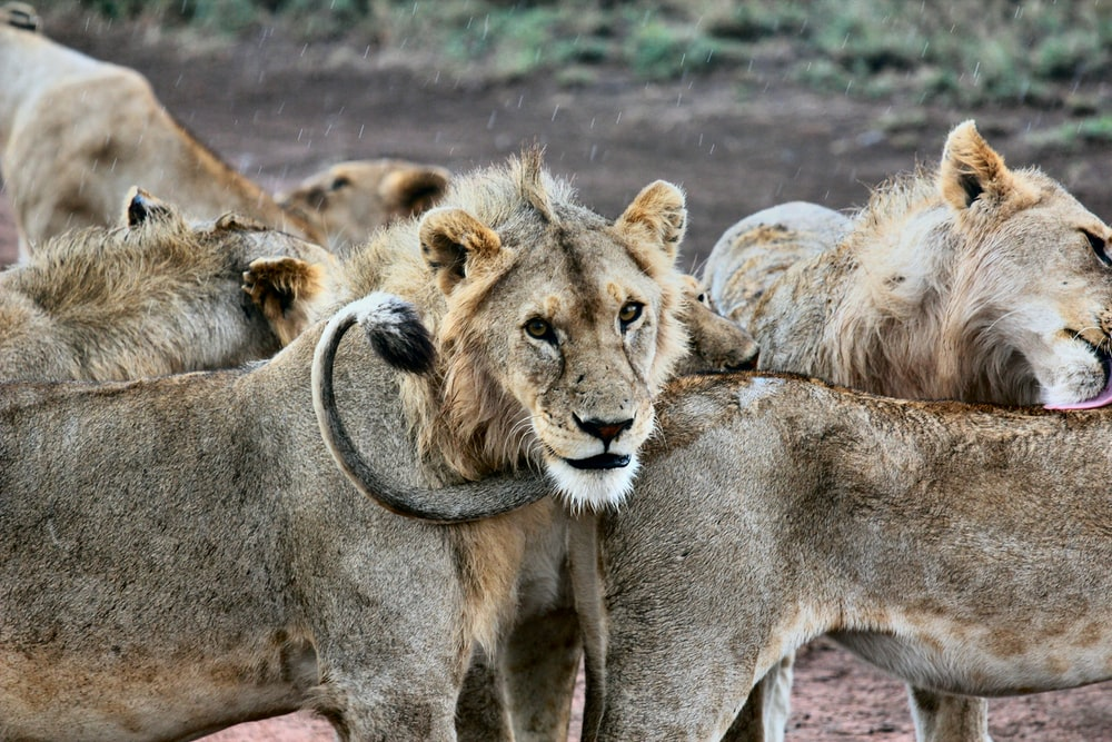 shallow focus photography of herd of lions