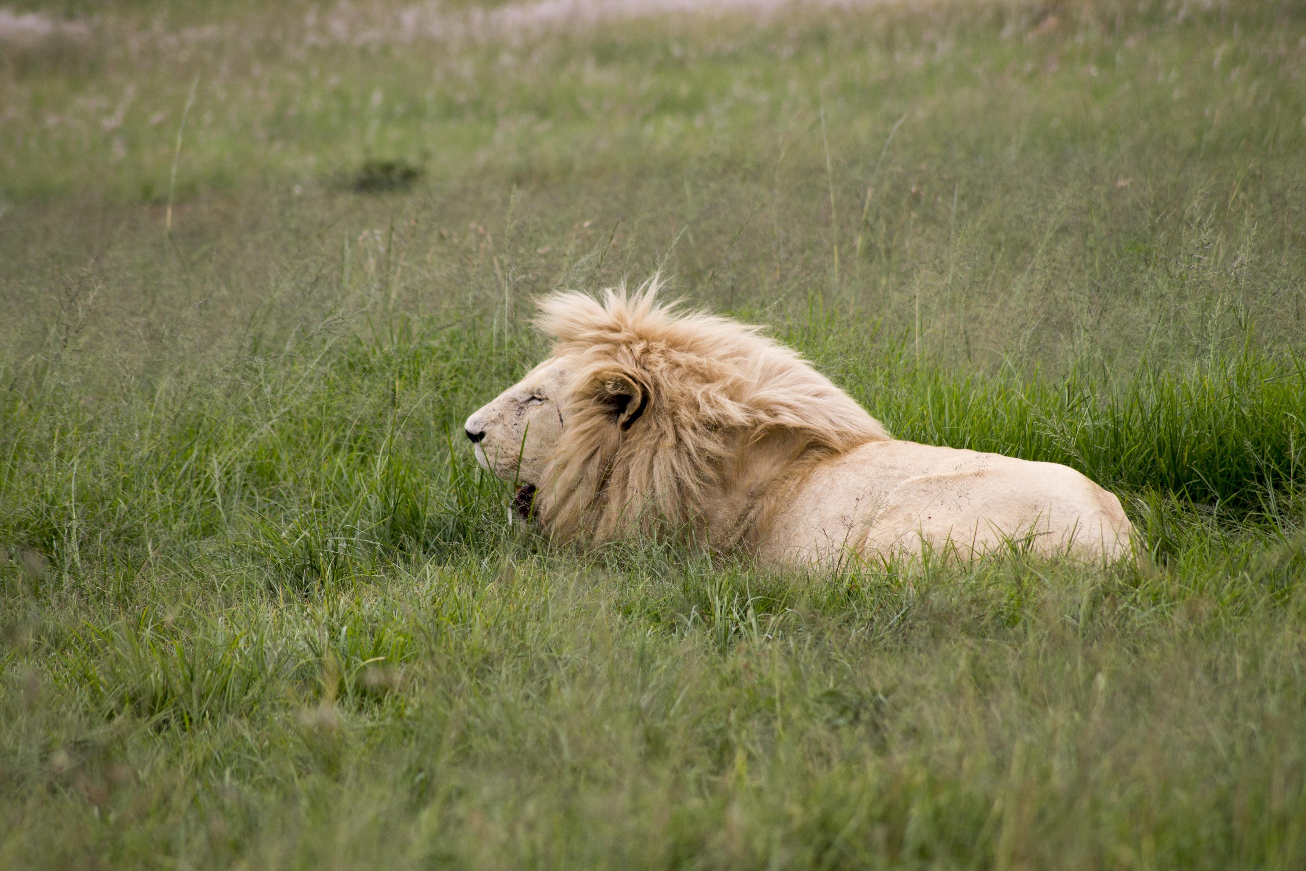 brown lion lying on green grass