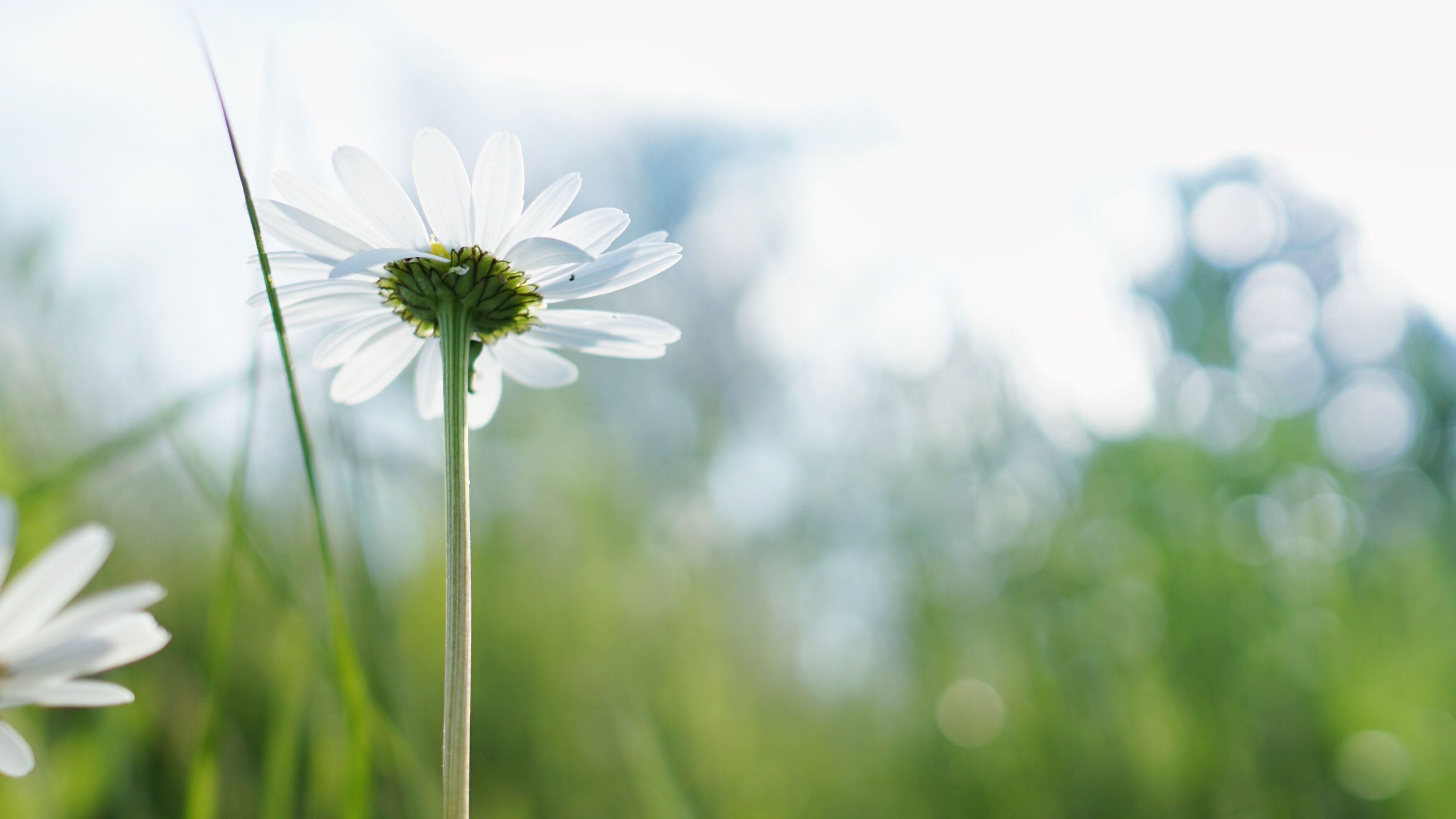 A low-angle shot of a white daisy with bokeh effect in the background