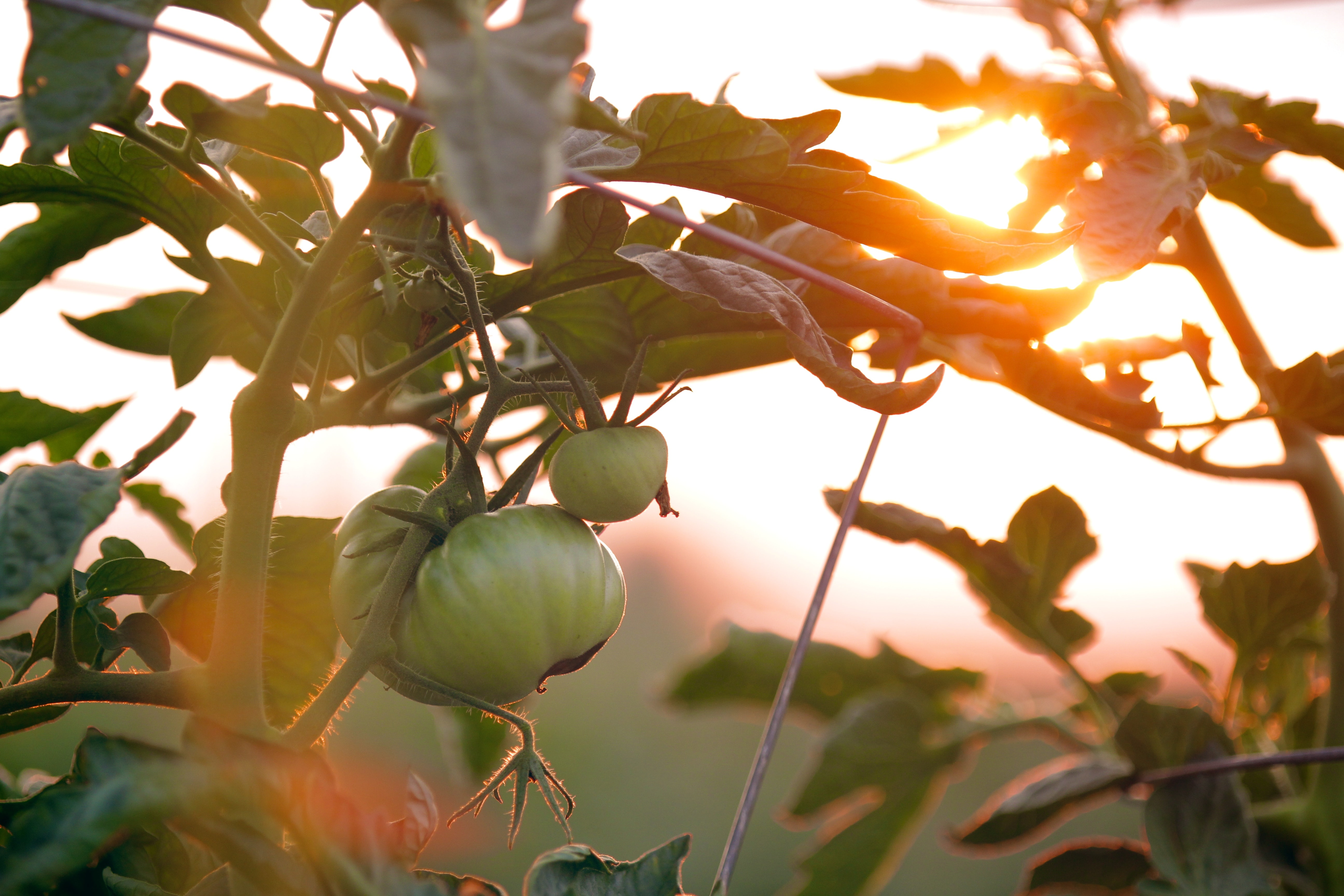 Green tomatoes growing on a vine at sunset