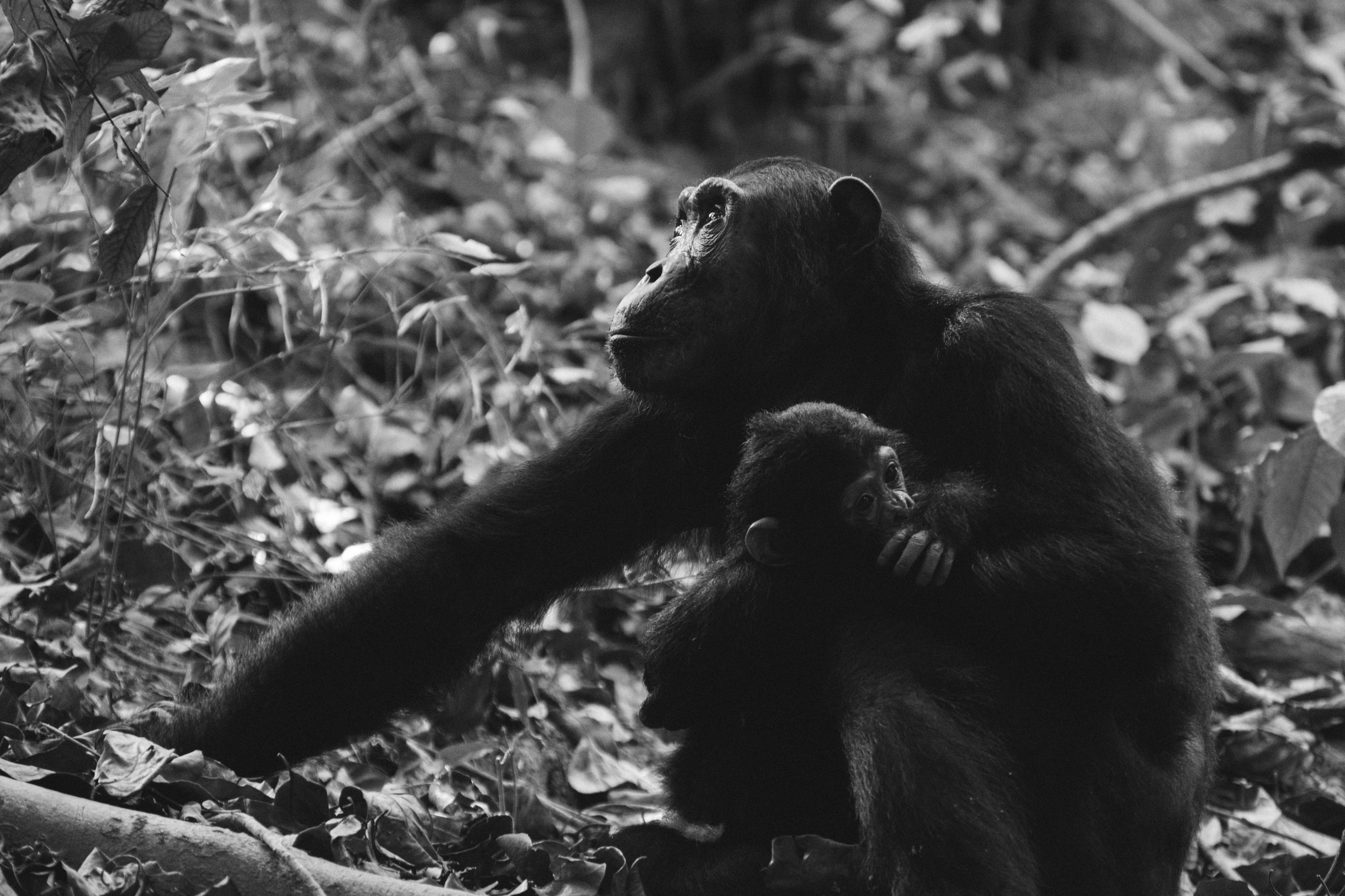 grayscale photo of two monkeys
