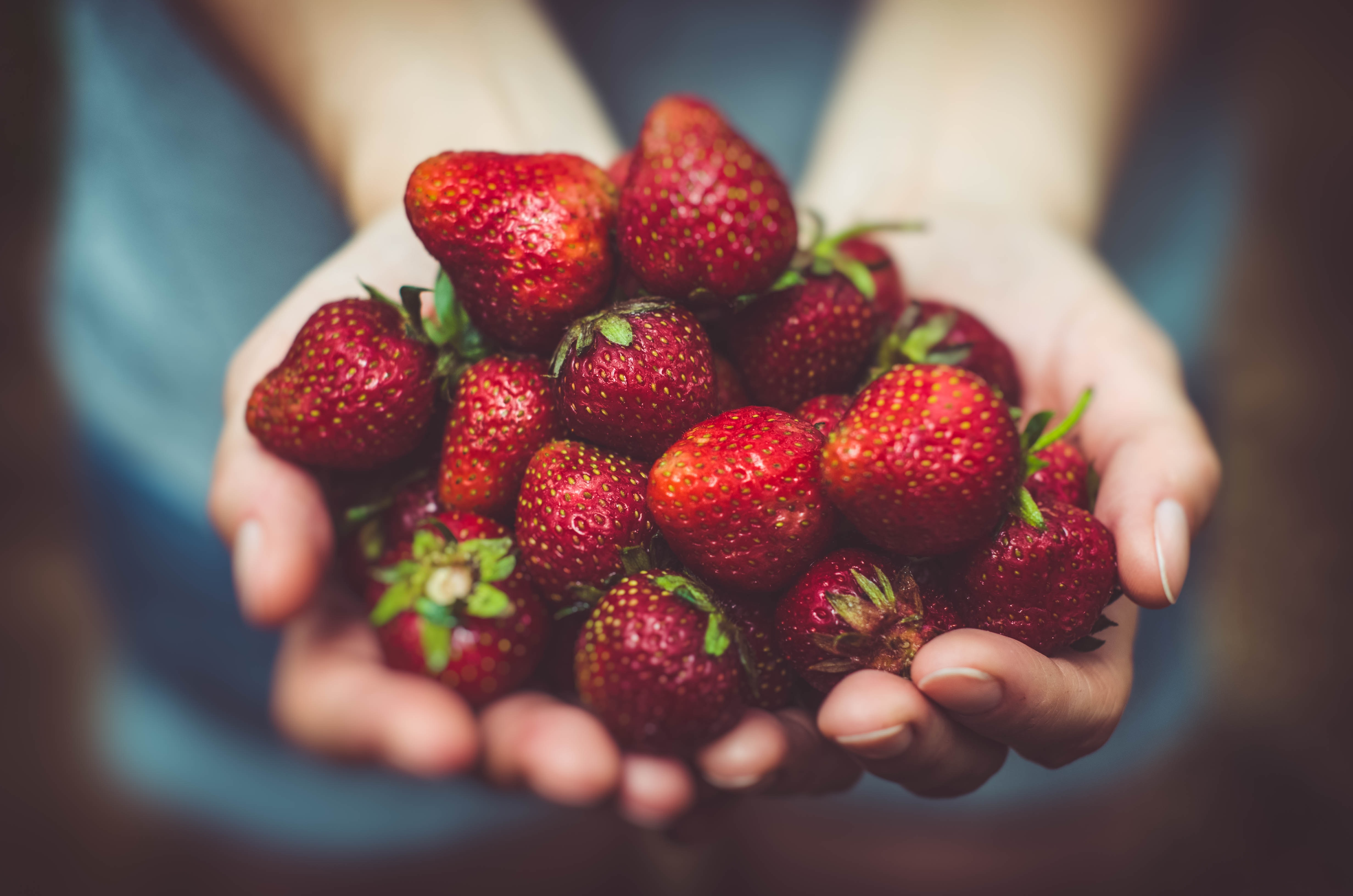 A person's cupped hands holding ripe dark red strawberries