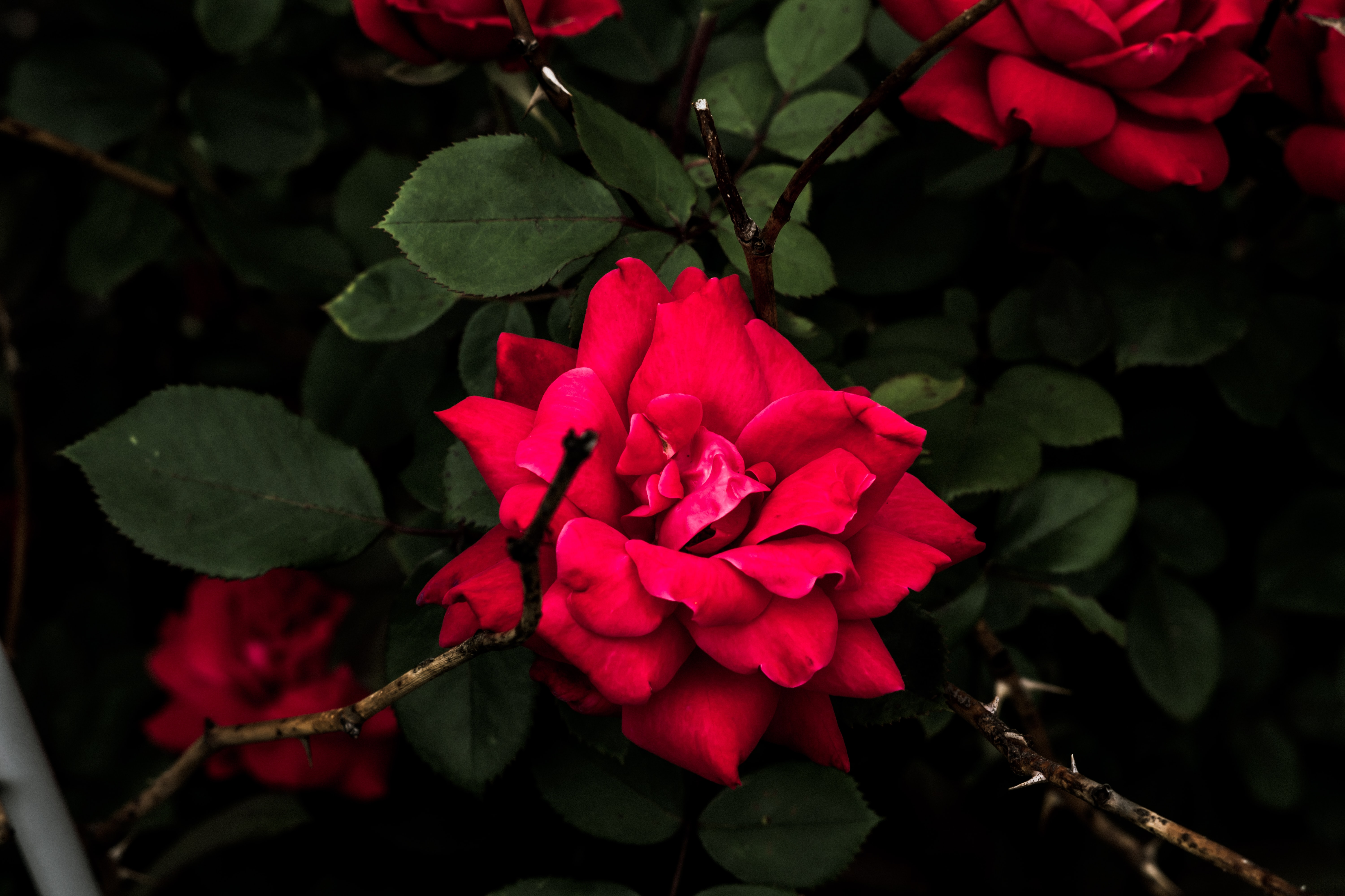 Red roses and green leaves blooming in a flower bush outside