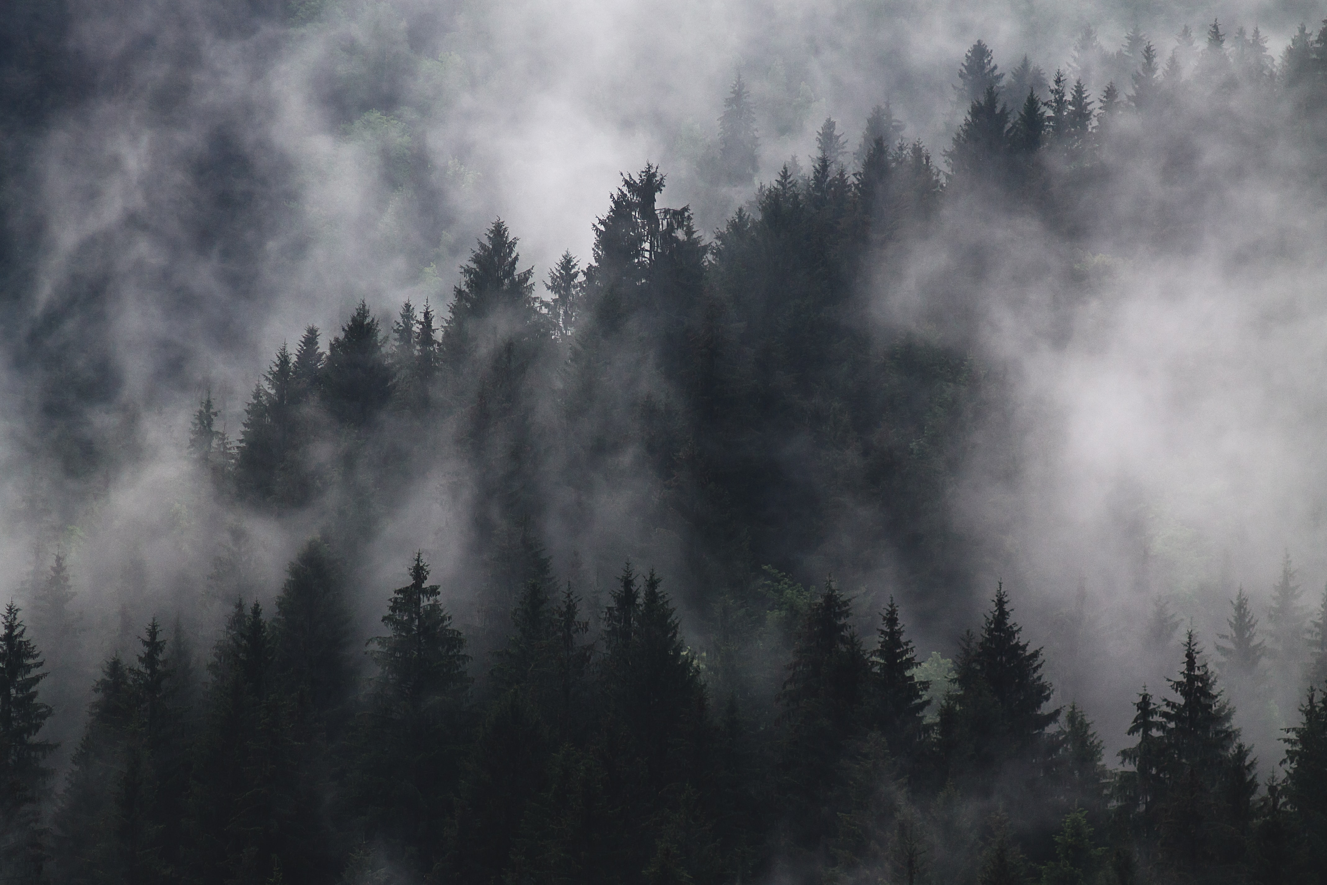 An evergreen forest enveloped in a patchy fog