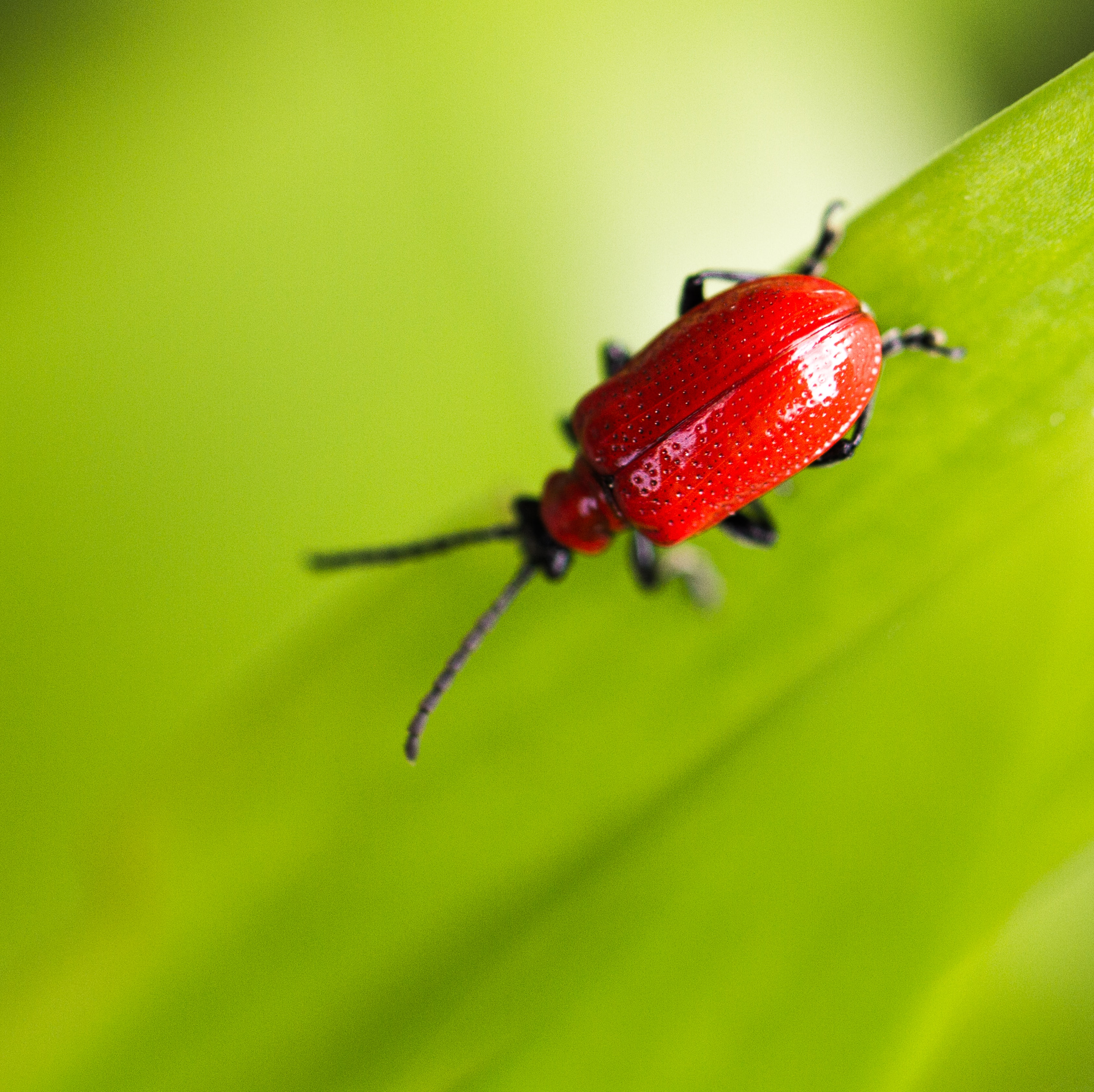 Red beetle climbs on a green leafy plant