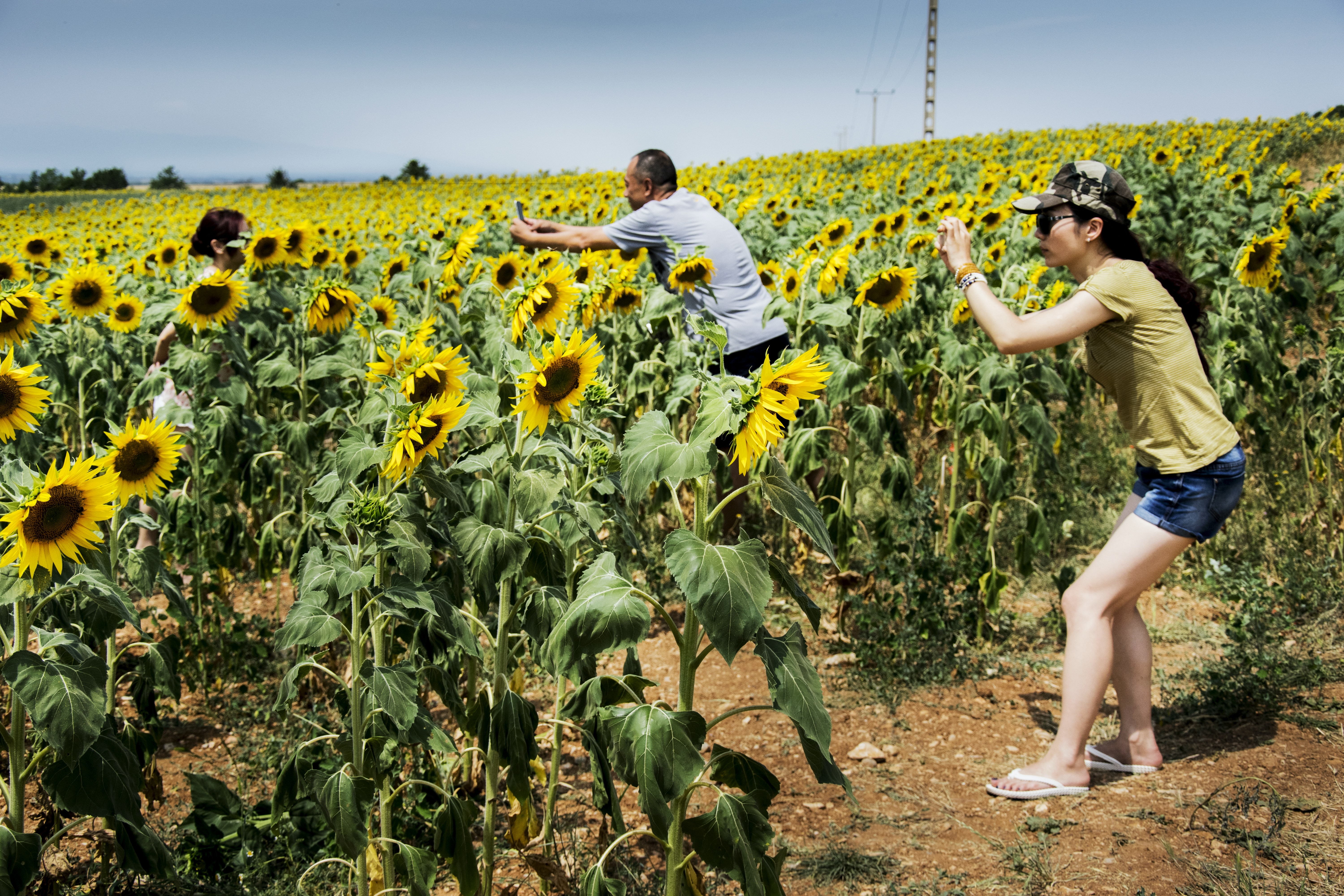 People taking photos in a sunflower field in Vaucluse during summer