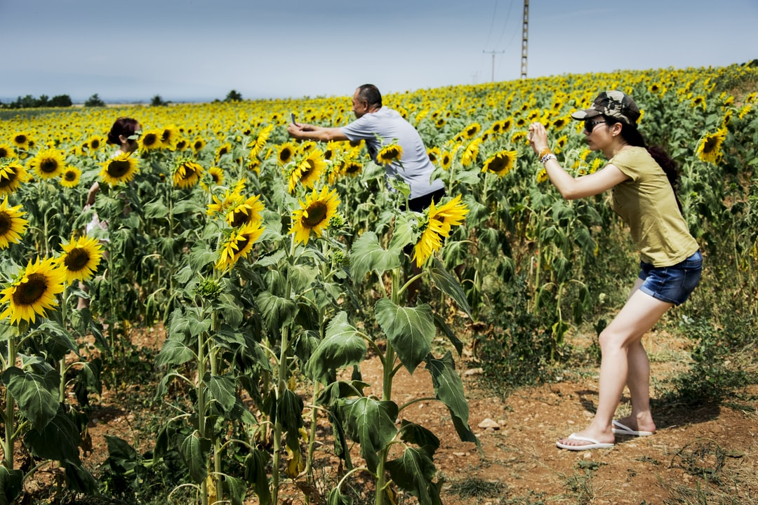 Admiring Vaucluse sunflowers