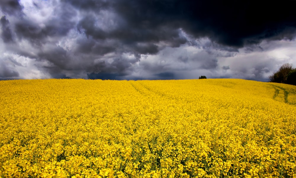 yellow flower field under cloudy sky