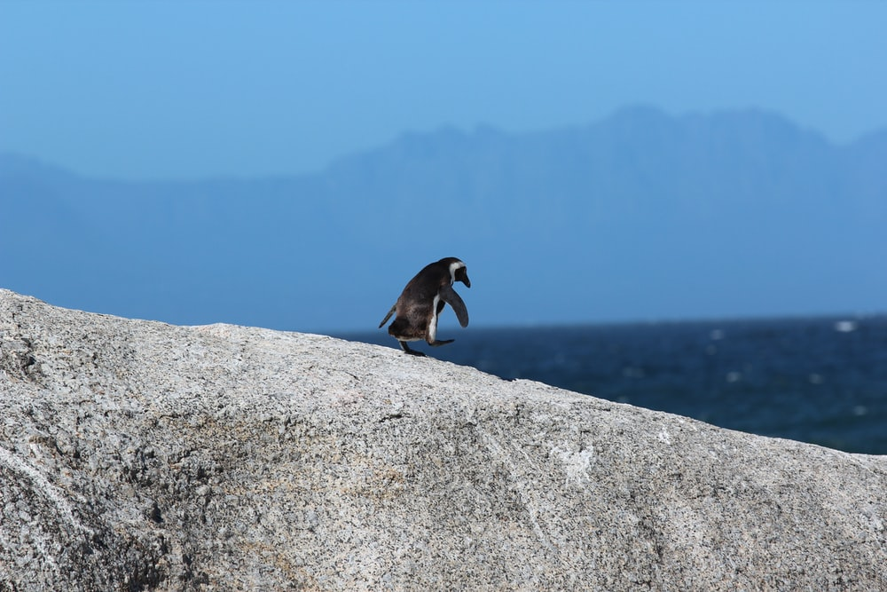 depth photography of a penguin on rock