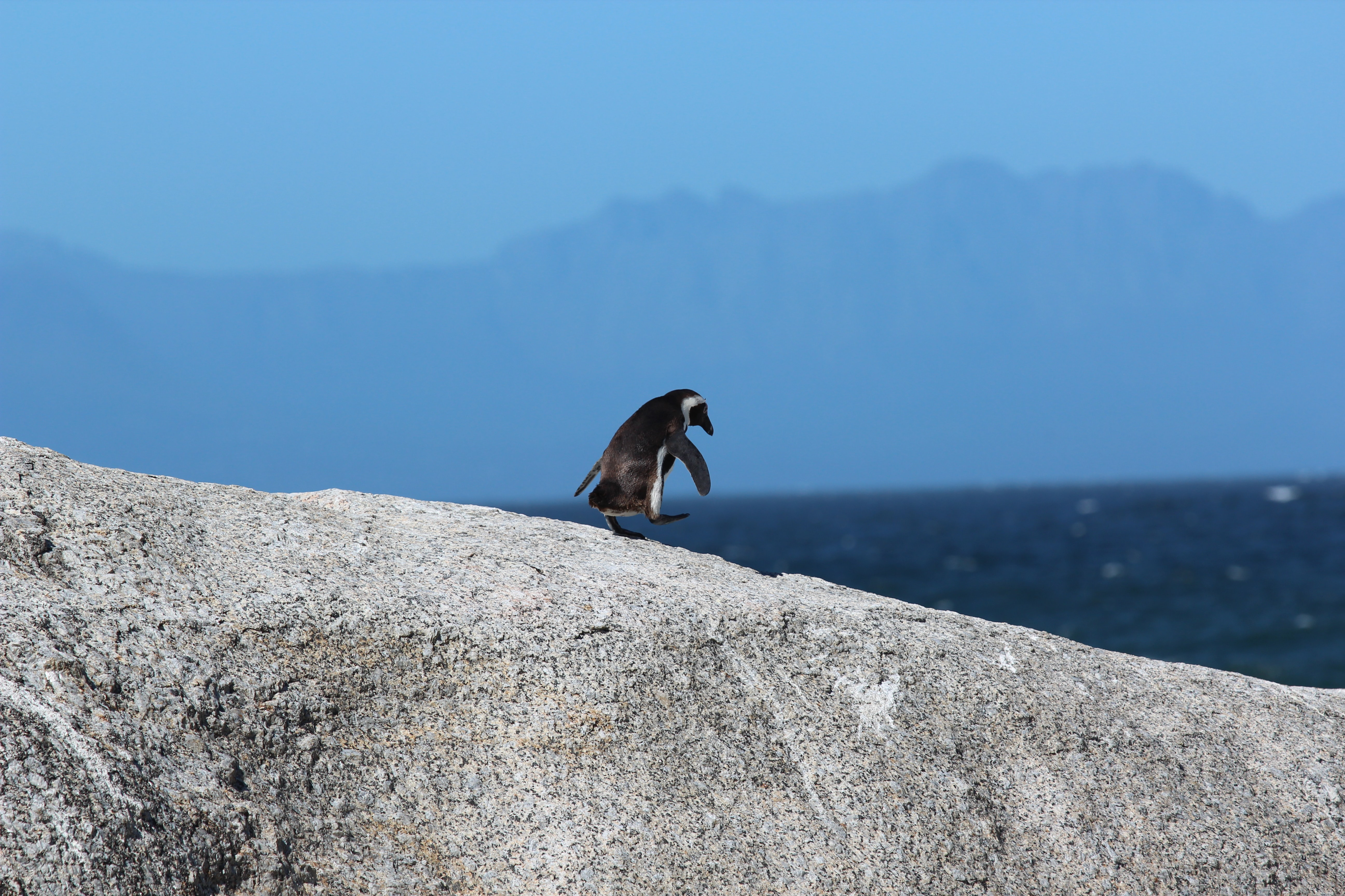 Small penguin walks on the big rock at Boulders Beach