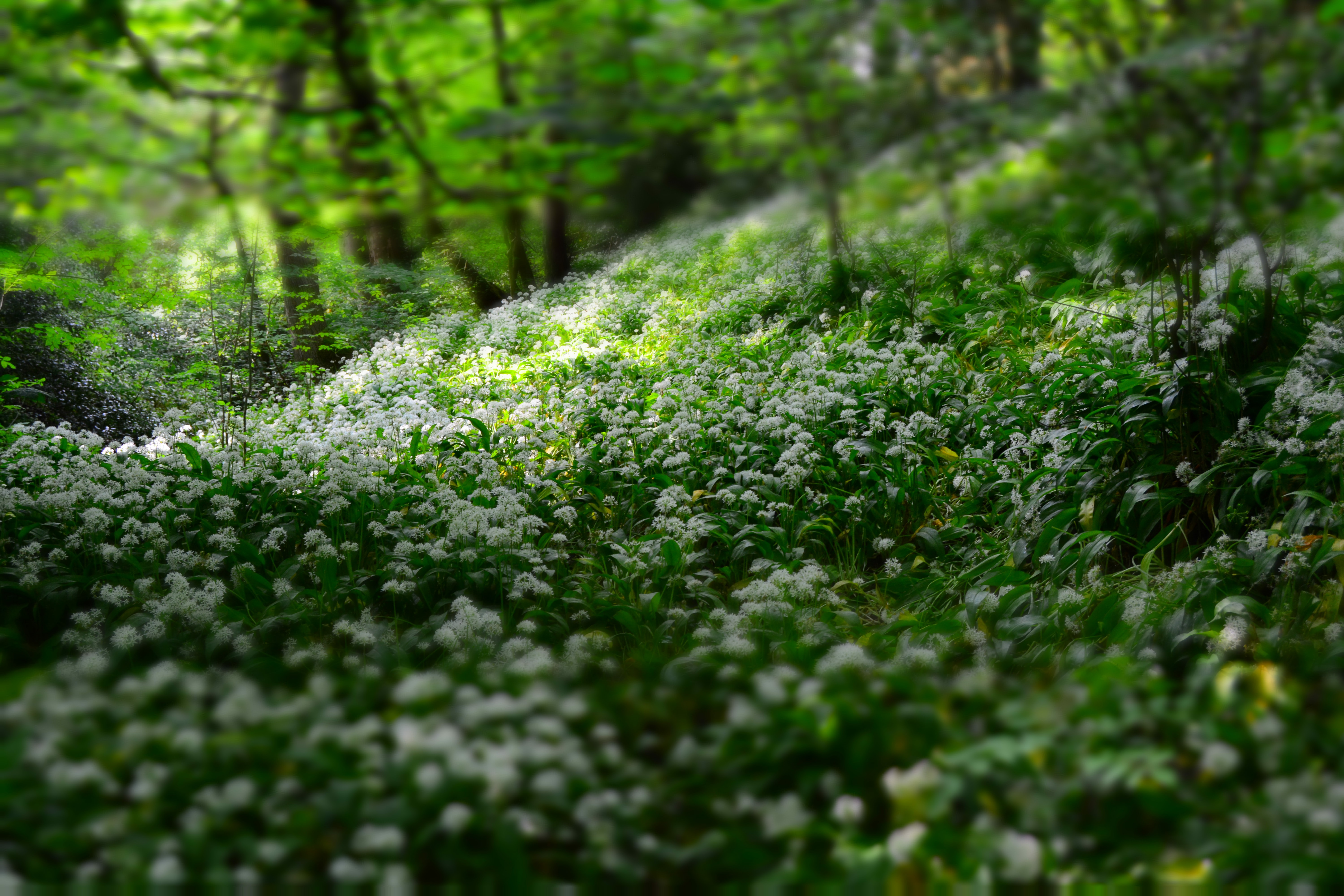 A glade covered with white flowers in a forest