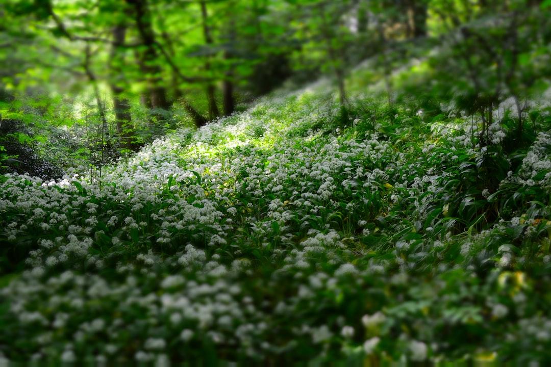 White forest glade