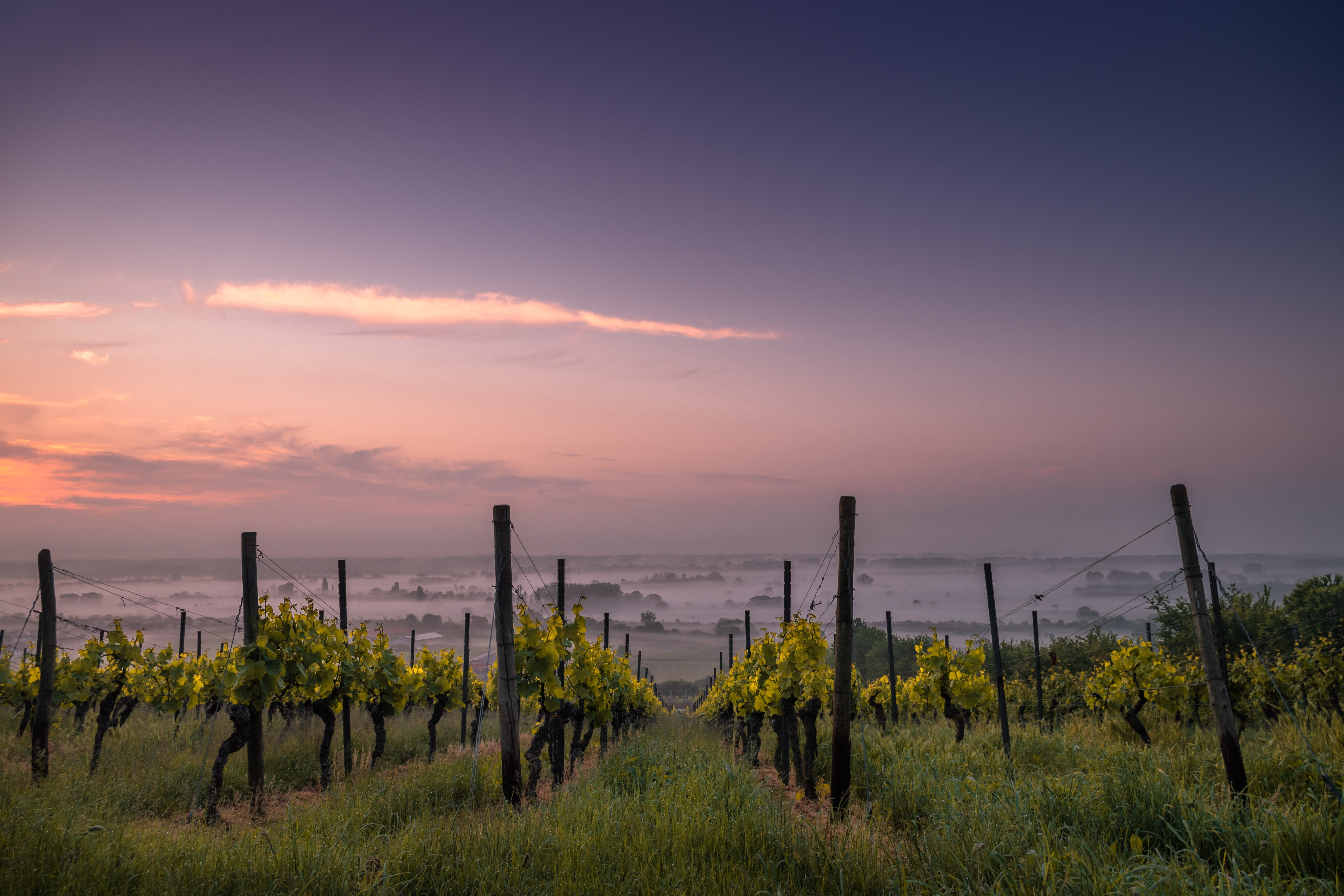 Vineyard during sunset