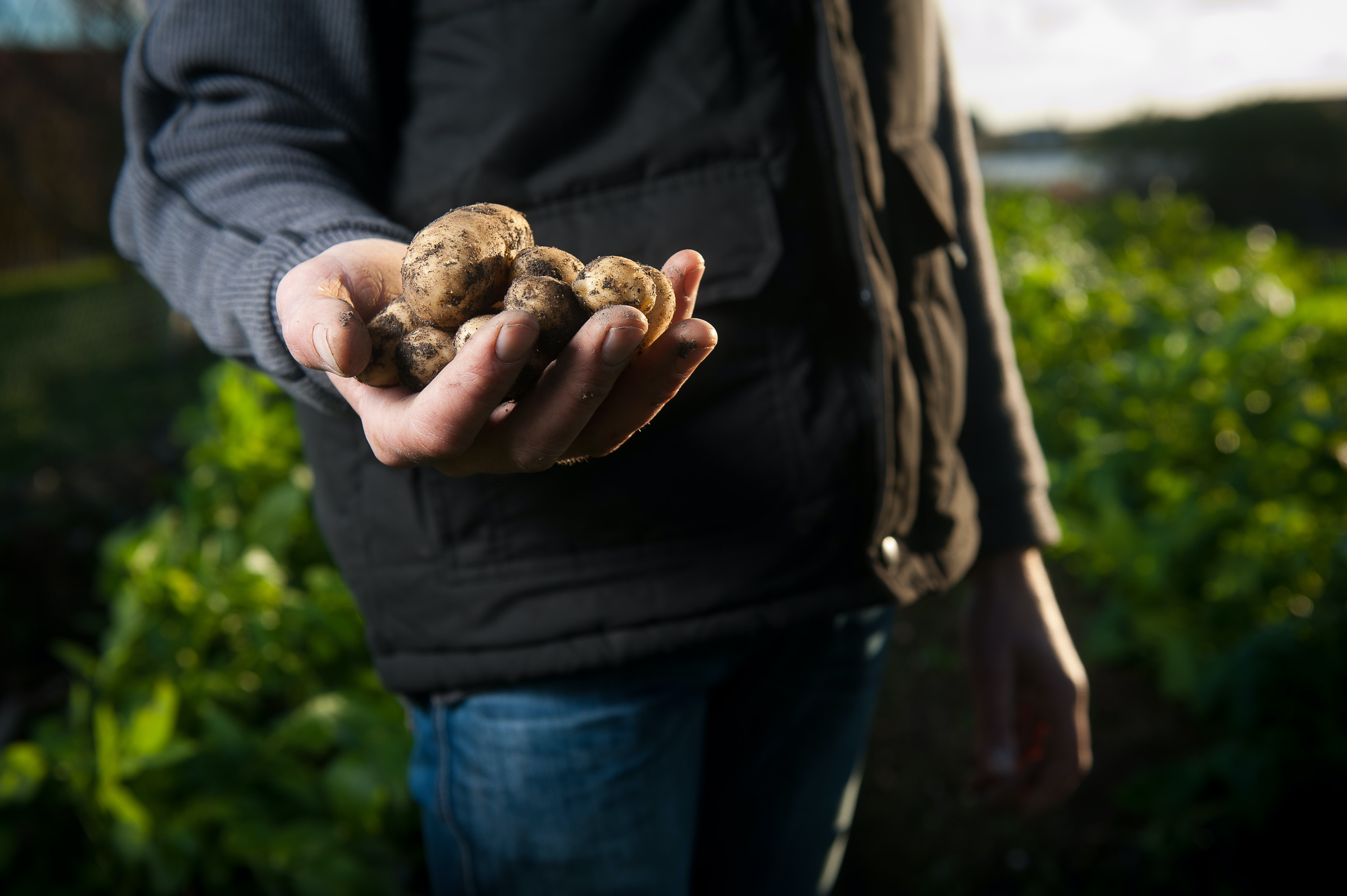 A farmer holding potatoes in France