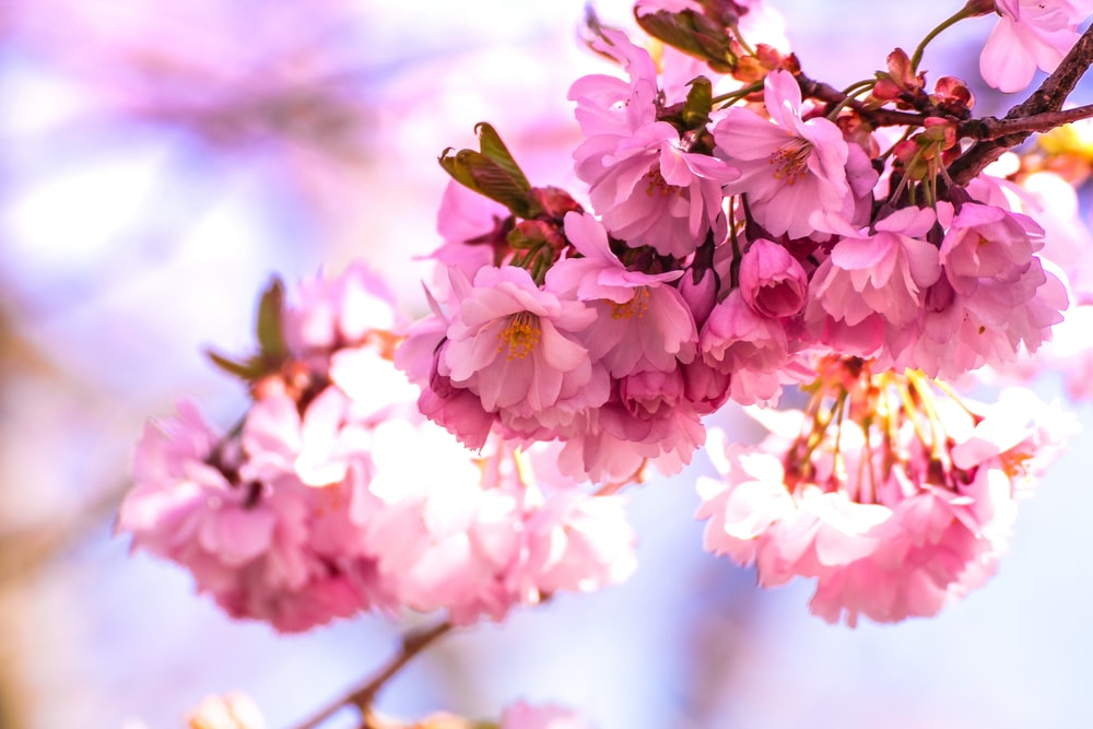 shallow focus photography of pink flowers in branch