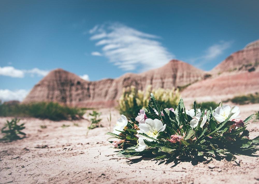 Unique desert flower in the sand of Badlands National Park