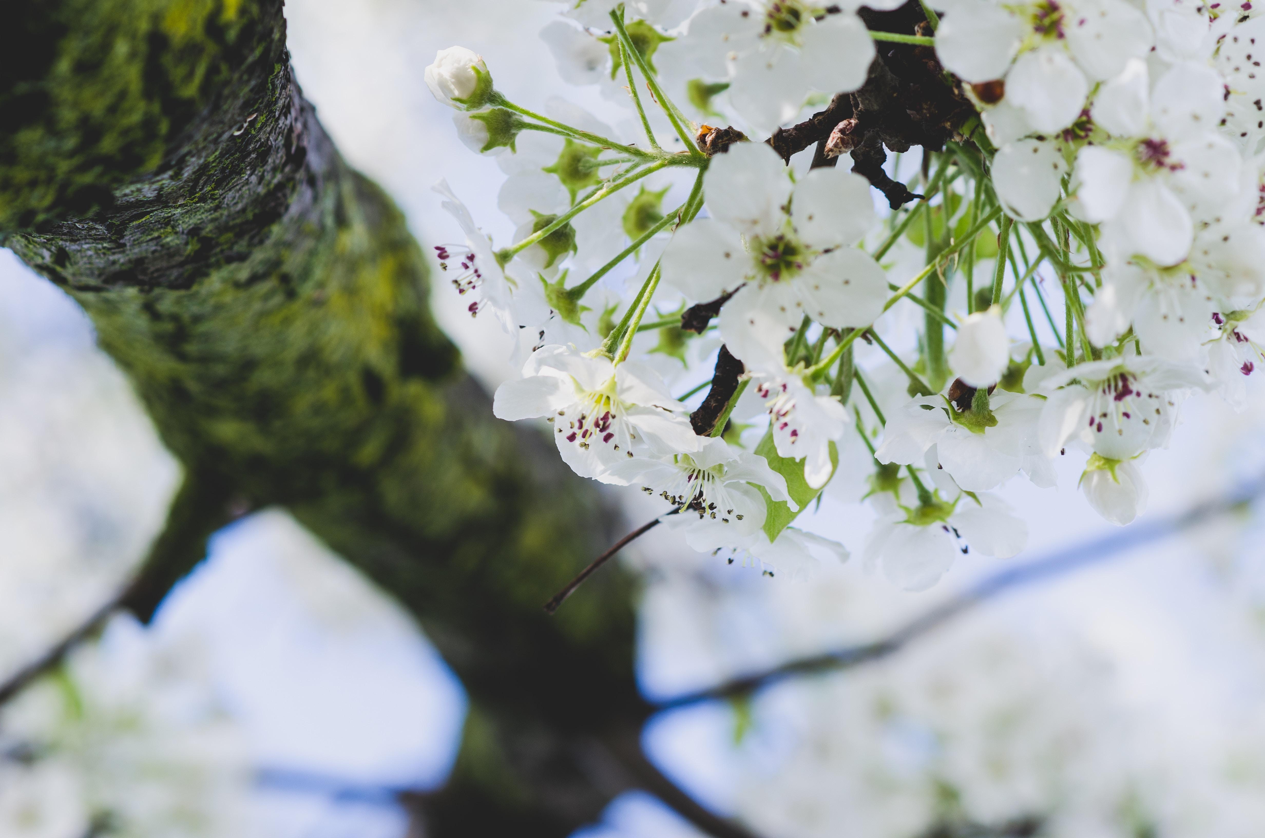 white 5-petaled leafed tree