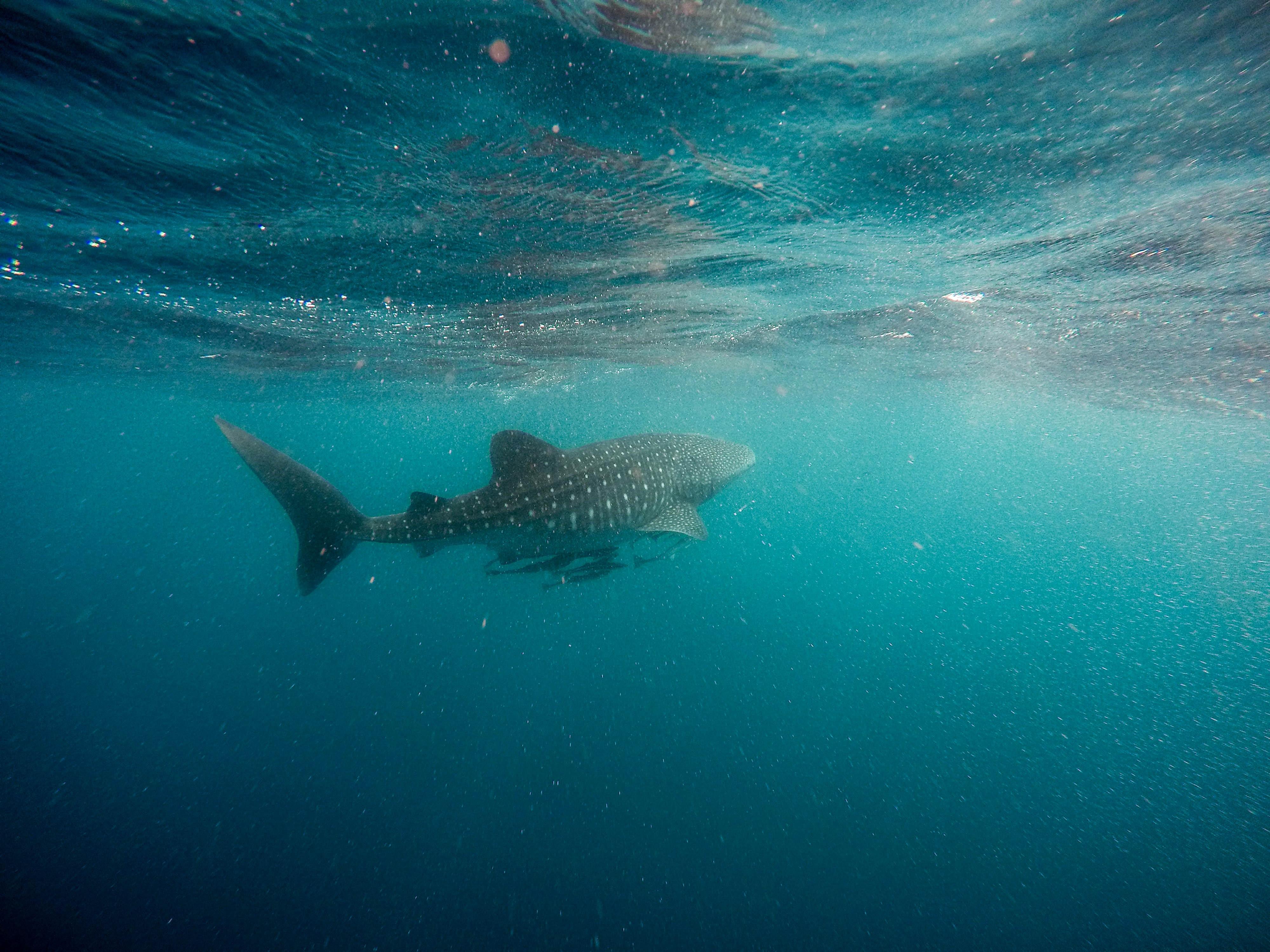 whale shark swimming underwater