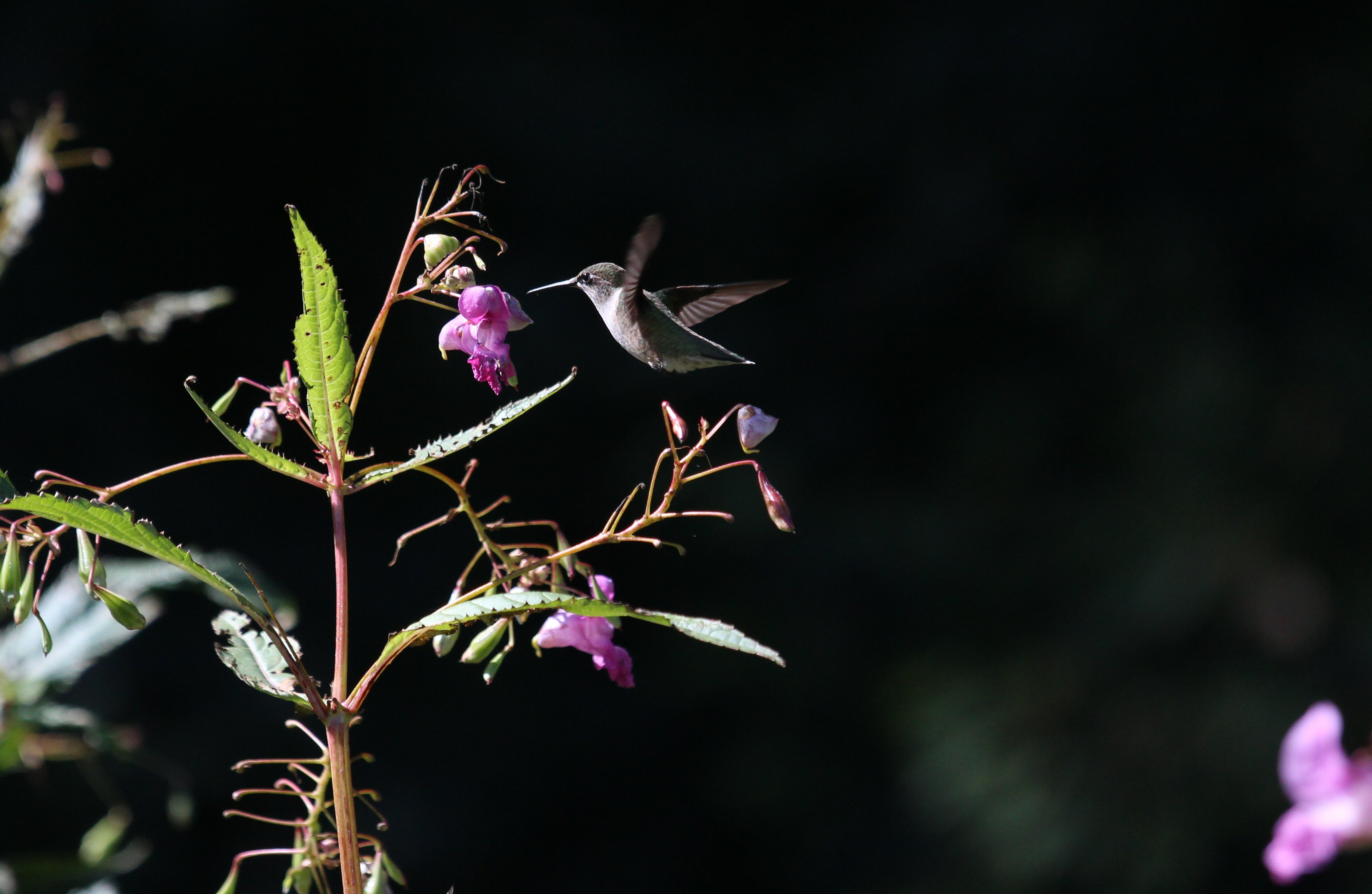 A hummingbird in flight above a purple flower in High Park