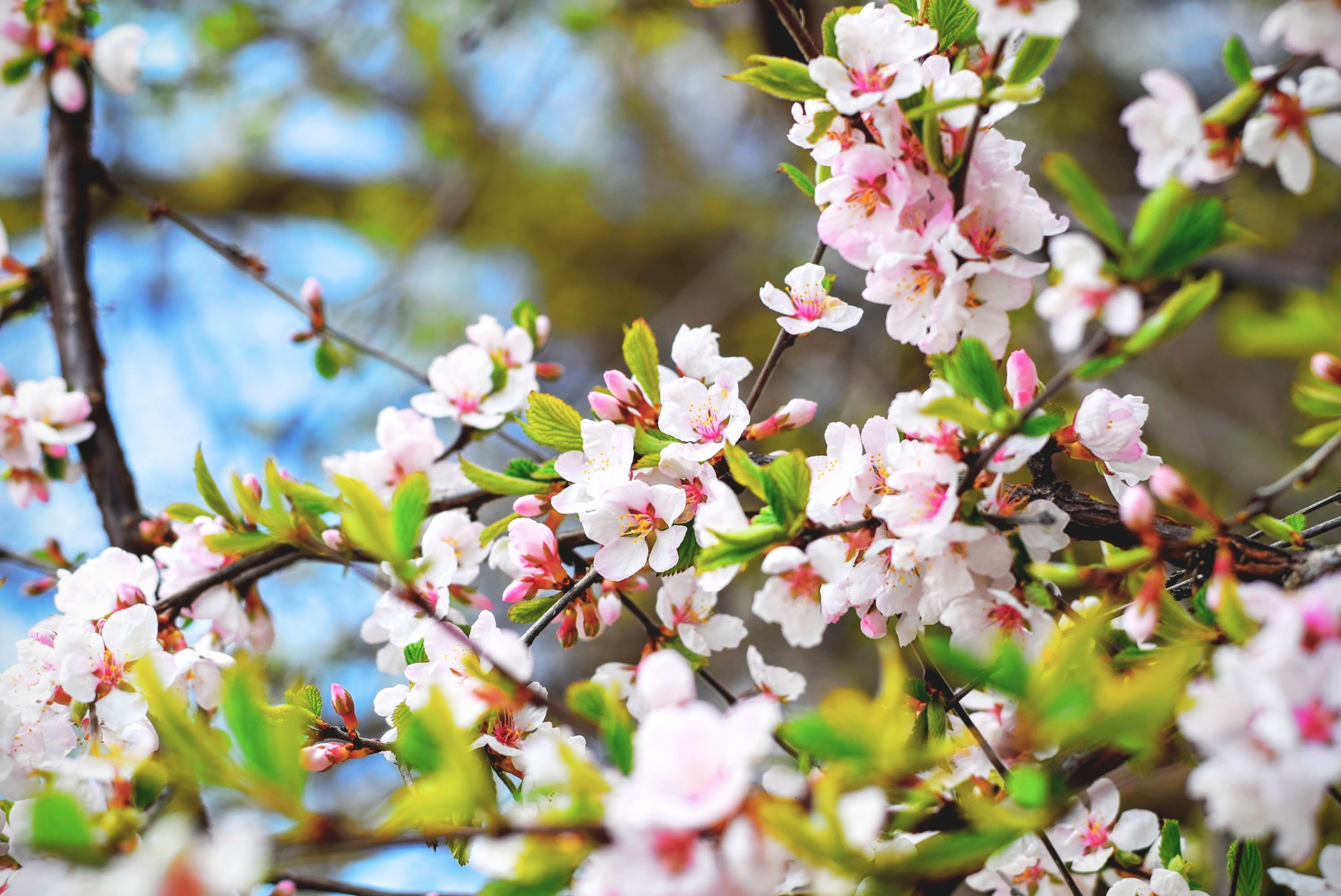 Pink blossom on leafy tree branches and foliage with blue sky in Spring